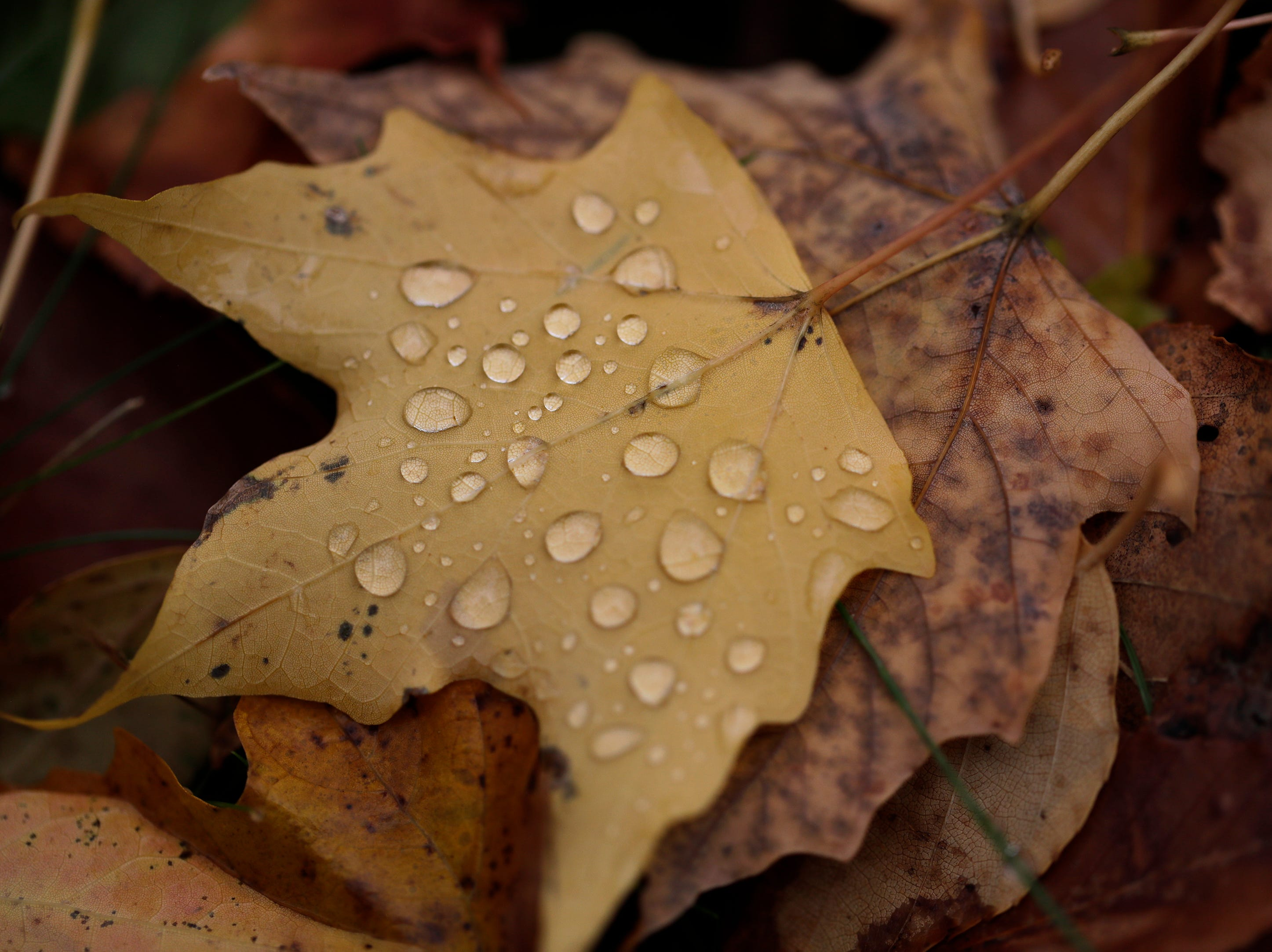 Dew drops cover a fallen leaf Monday, October 29, 2018, at Plamann Park in Appleton, Wis. 