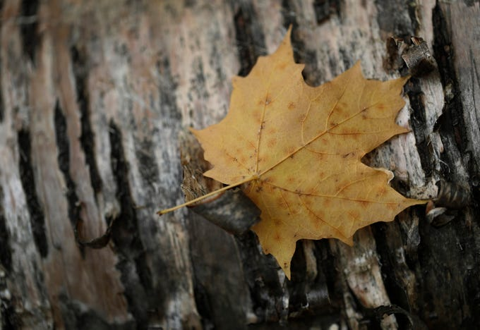Bark from birch tree offers a rustic background for a fallen maple leaf Monday, October 29, 2018, at Plamann Park in Appleton, Wis. 