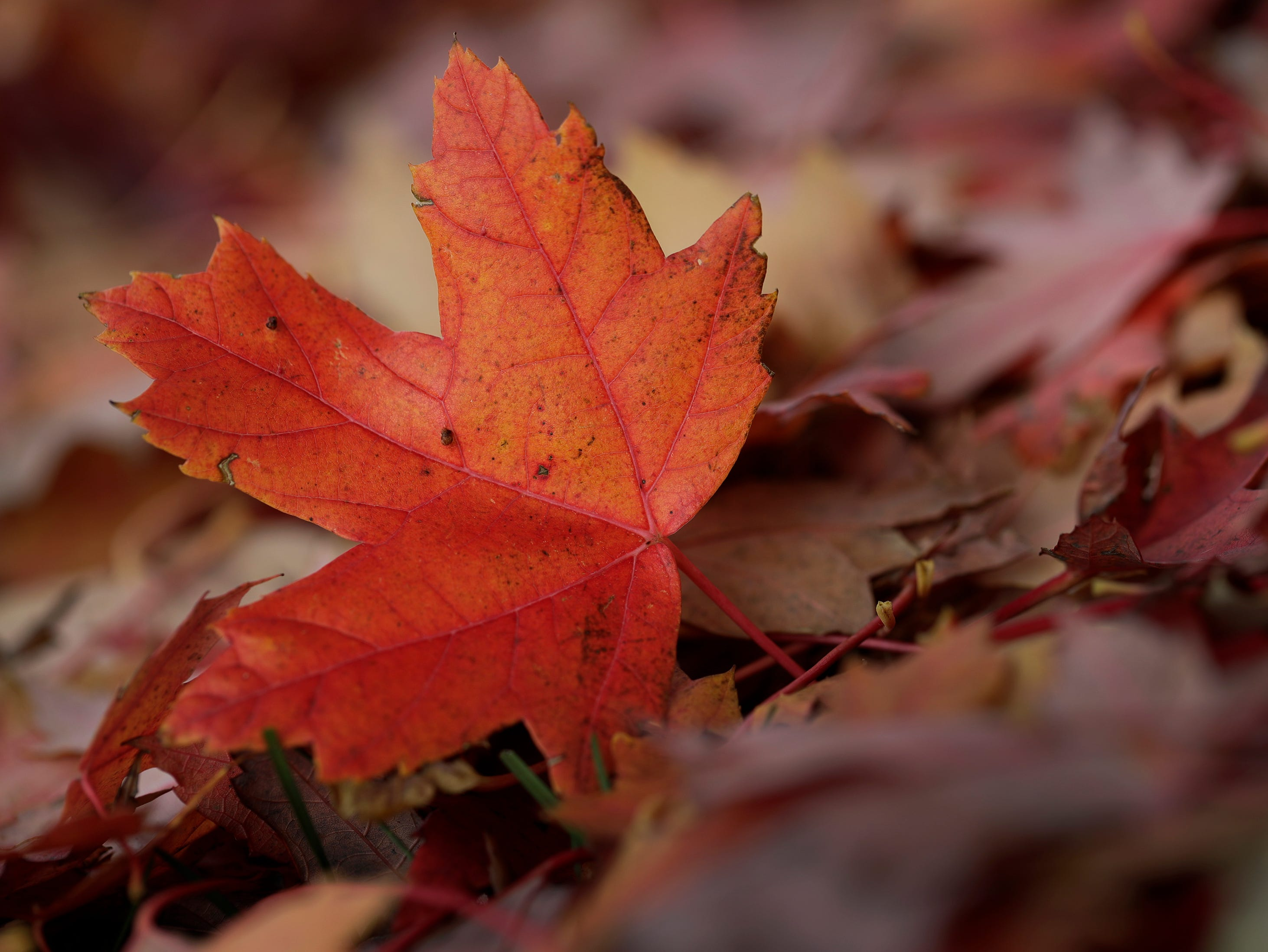 A maple leaf lies on it's edge Monday, October 29, 2018, in Appleton, Wis. 