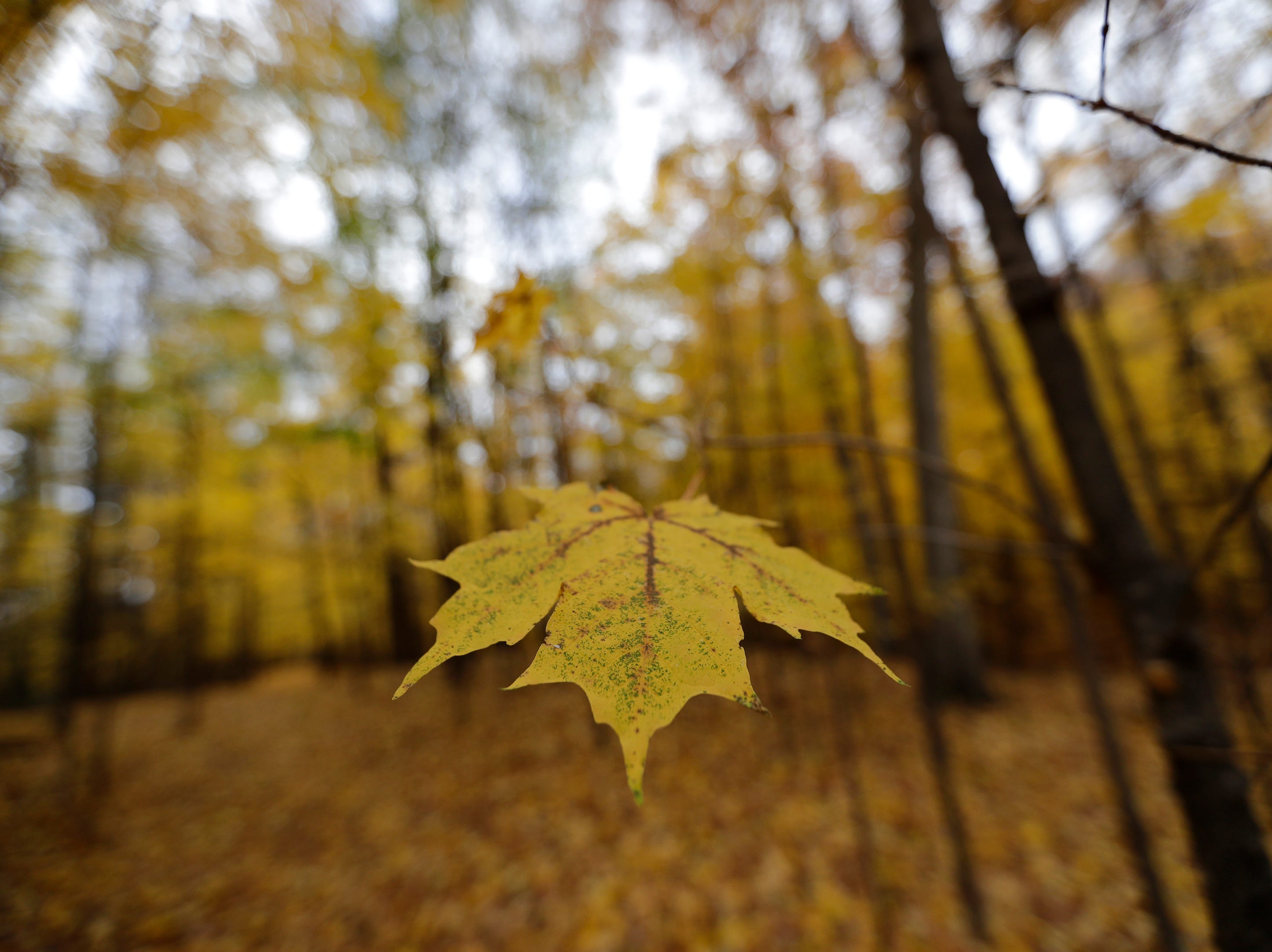 A leaf clings to the end of a branch Monday, October 29, 2018, at Plamann Park in Appleton, Wis. 
