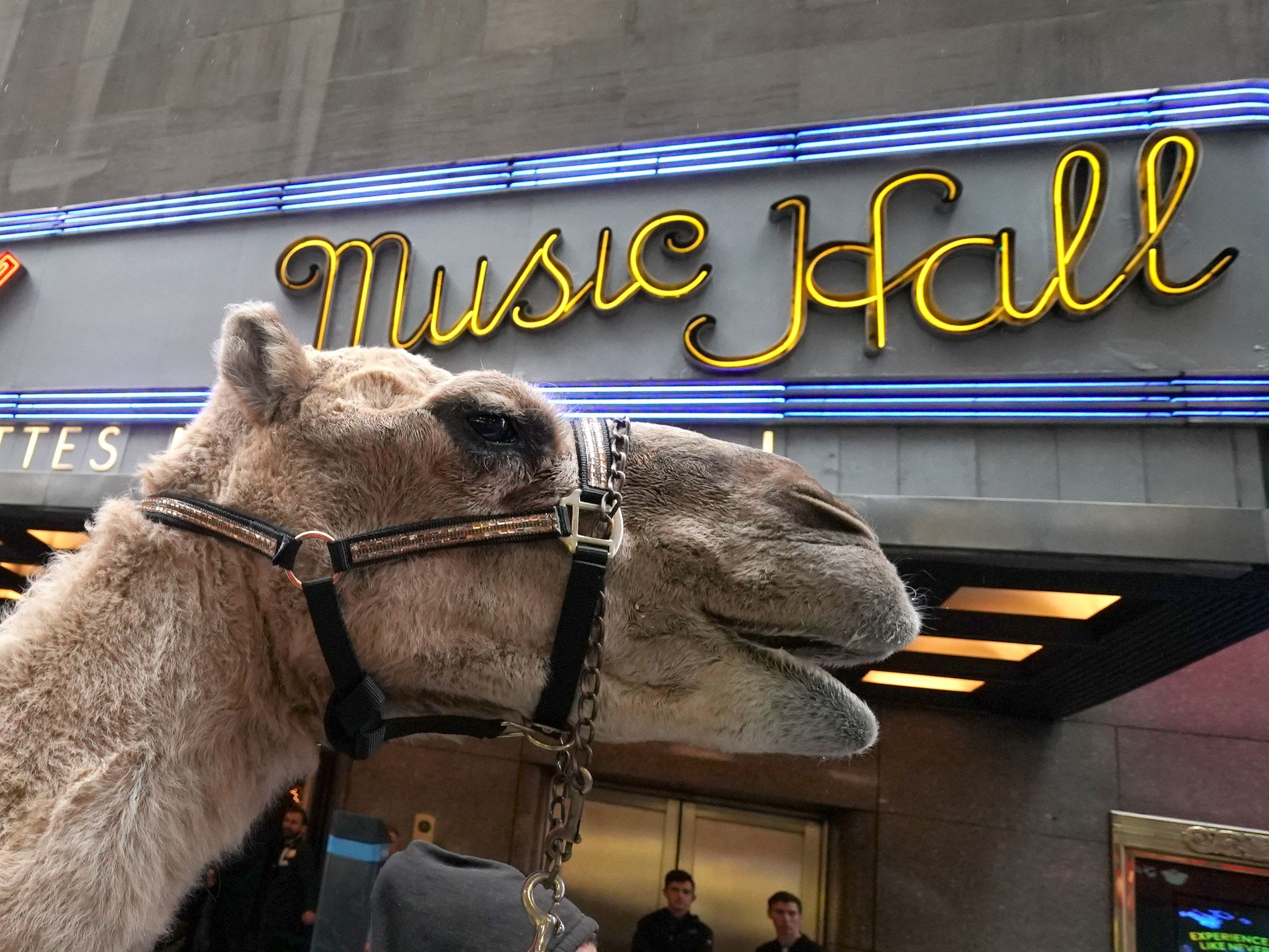 Camels are escorted down the street as the  Radio City Rockettes  welcome the camels, sheep and donkey back to Radio City Music Hall November 5, 2018 for their starring role in the Living Nativity scene in the 2018 production of the Christmas Spectacular Starring the Radio City Rockettes. - The Christmas Spectacular starring the Radio City Rockettes, presented by Chase, will run from November 9  January 1, 2019. (Photo by TIMOTHY A. CLARY / AFP)TIMOTHY A. CLARY/AFP/Getty Images