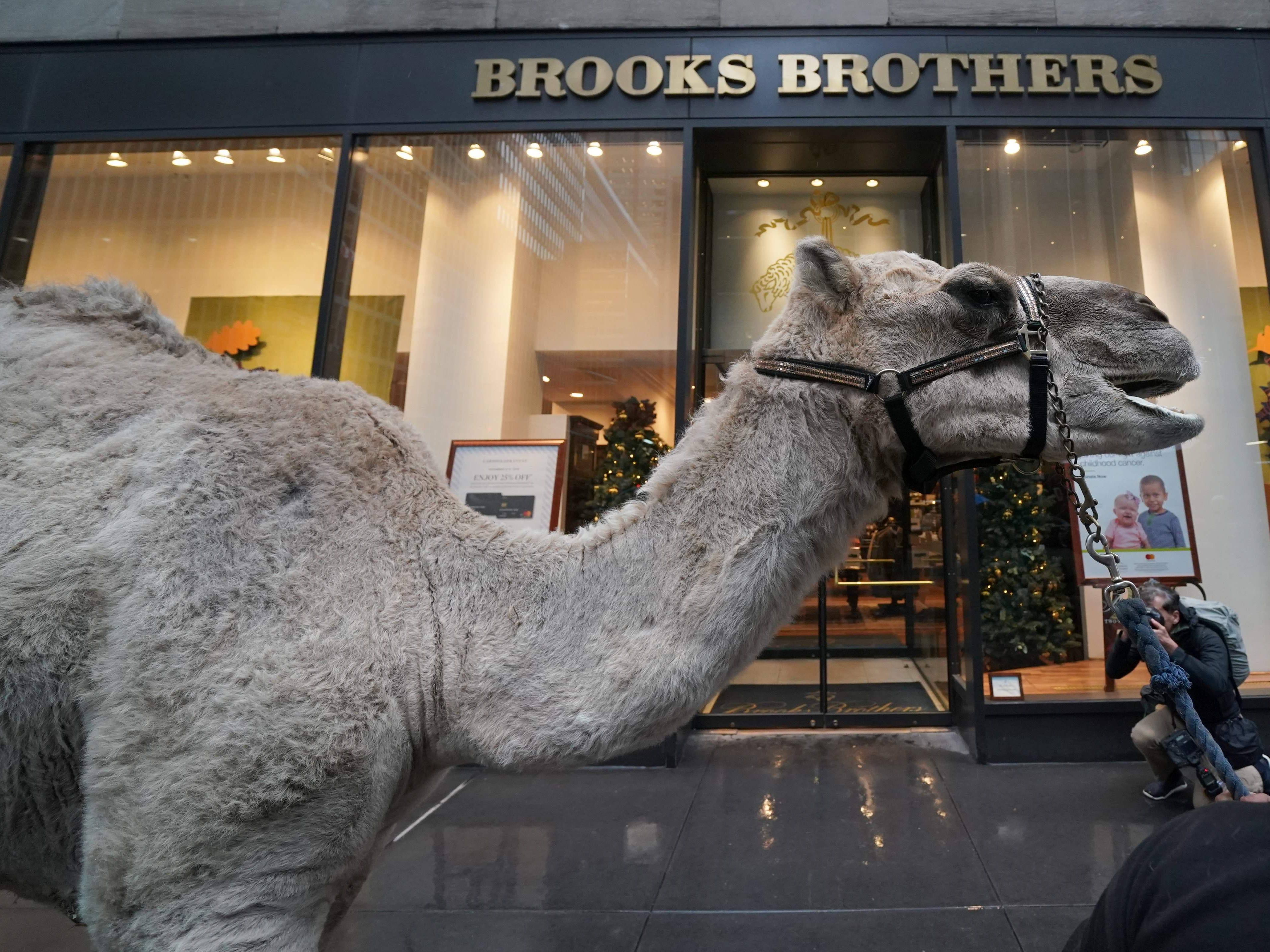 A camel is escorted November 5, 2018 in New York as camels, sheep and donkey are welcomed back to Radio City Music Hall November 5, 2018 in New York for their starring role in the Living Nativity scene of the 2018 production of the Christmas Spectacular. - The Christmas Spectacular starring the Radio City Rockettes, presented by Chase, will run from November 9  January 1, 2019. (Photo by TIMOTHY A. CLARY / AFP)TIMOTHY A. CLARY/AFP/Getty Images