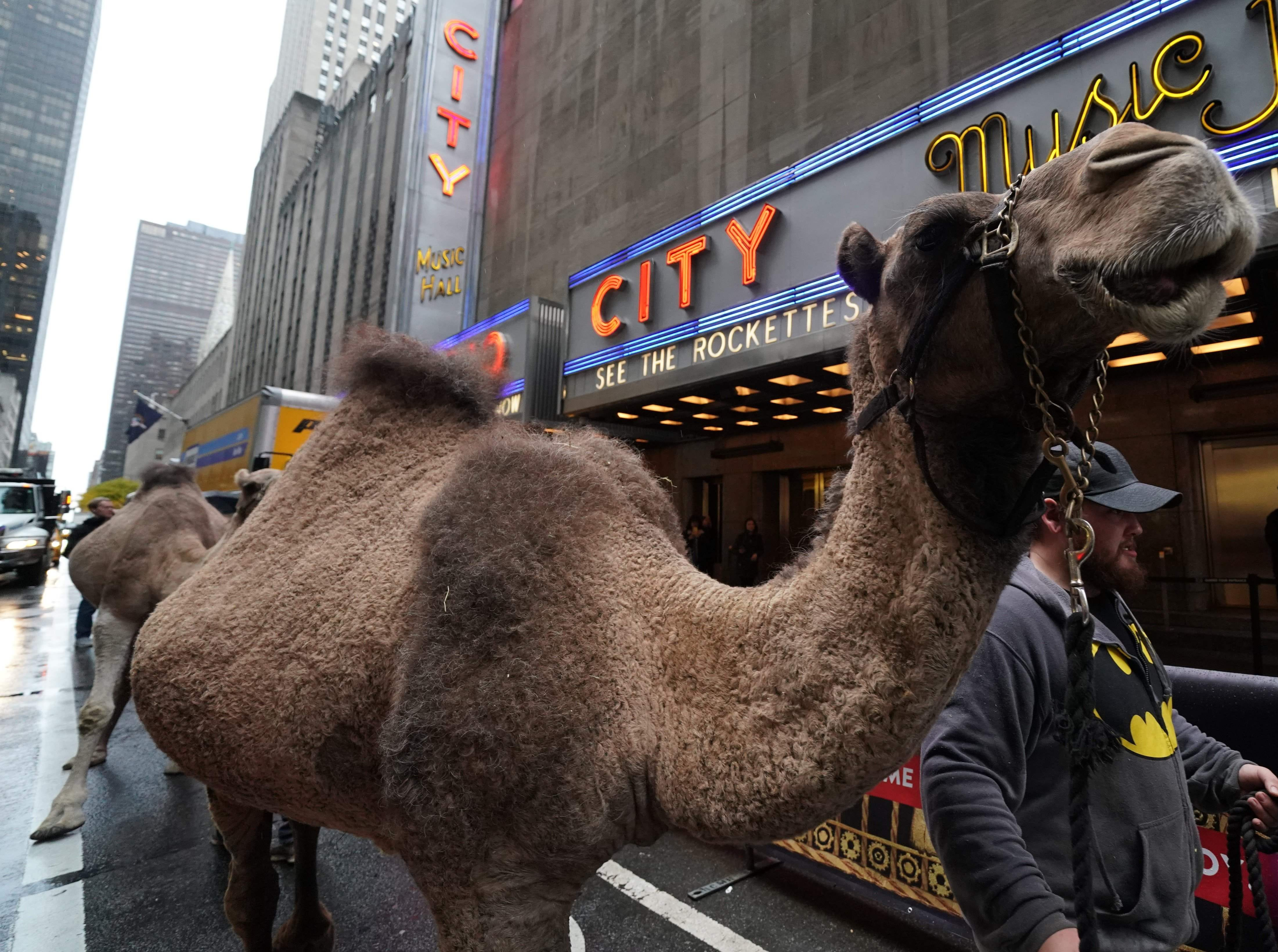 Camels are escorted November 5, 2018 in New York as camels, sheep and donkey are welcomed back to Radio City Music Hall November 5, 2018 in New York for their starring role in the Living Nativity scene of the 2018 production of the Christmas Spectacular. - The Christmas Spectacular starring the Radio City Rockettes, presented by Chase, will run from November 9  January 1, 2019. (Photo by TIMOTHY A. CLARY / AFP)TIMOTHY A. CLARY/AFP/Getty Images