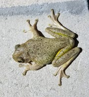 This Cuban treefrog is one of the eight species in Florida.