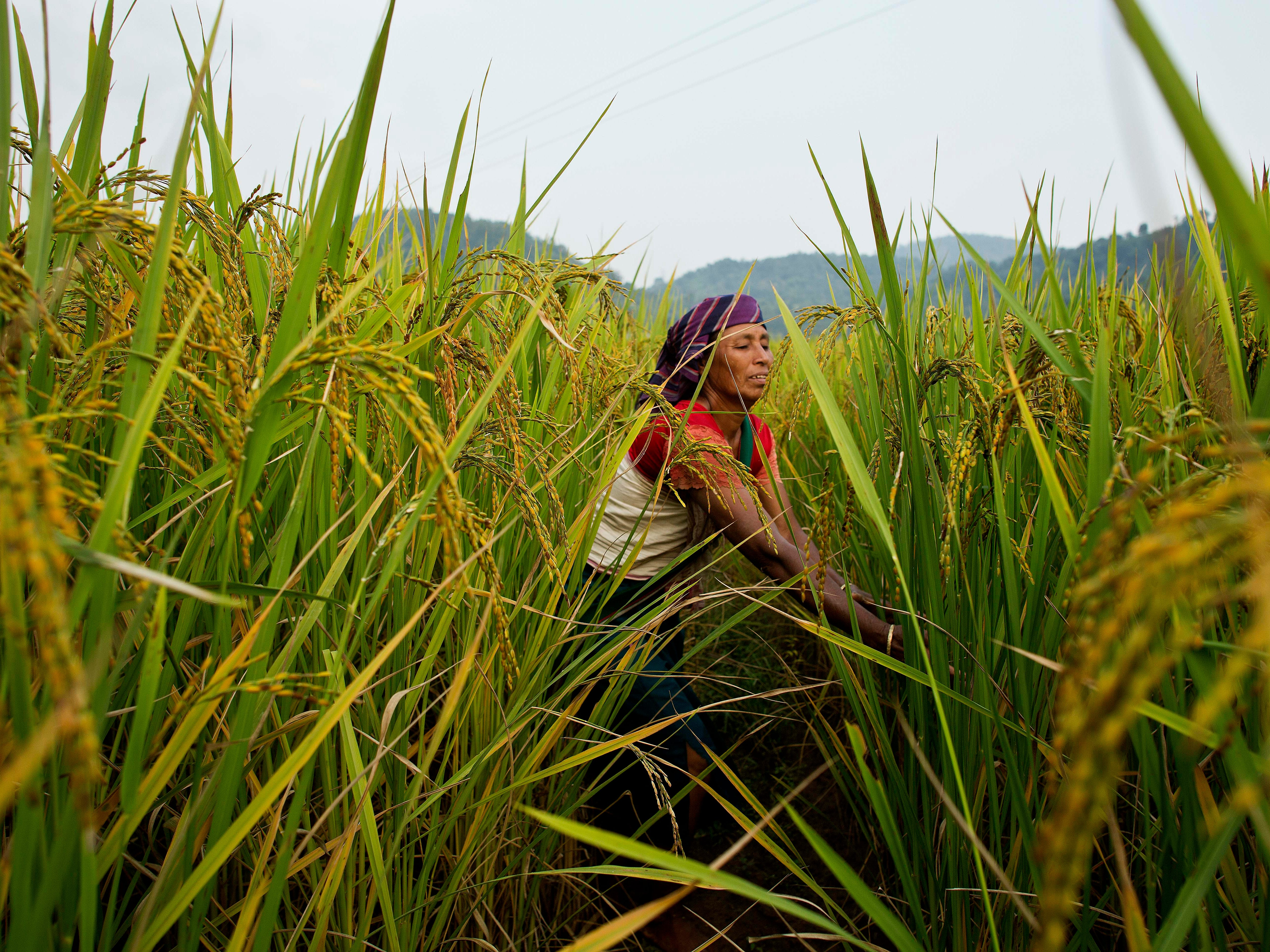 An Indian Khasi tribal woman works in a paddy field in Moronga village along the Assam-Meghalaya state border in India, Sunday, Nov. 4, 2018.
