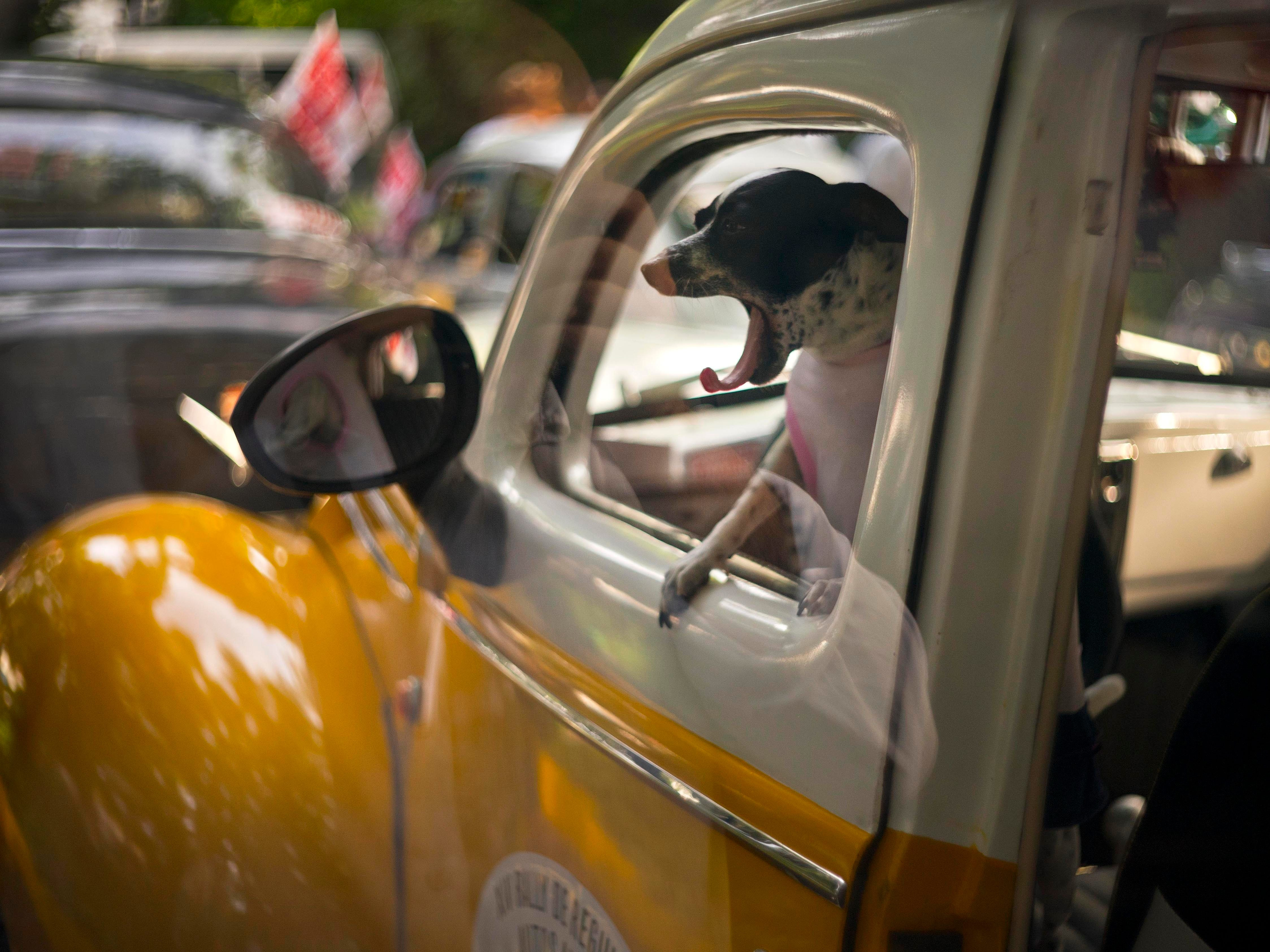 A dog yawns in the cab of a classic 1938 Ford, currently being used as a taxi, as it sits parked before the XIV rally of antique cars in Havana, Cuba, Sunday, Nov. 4, 2018.