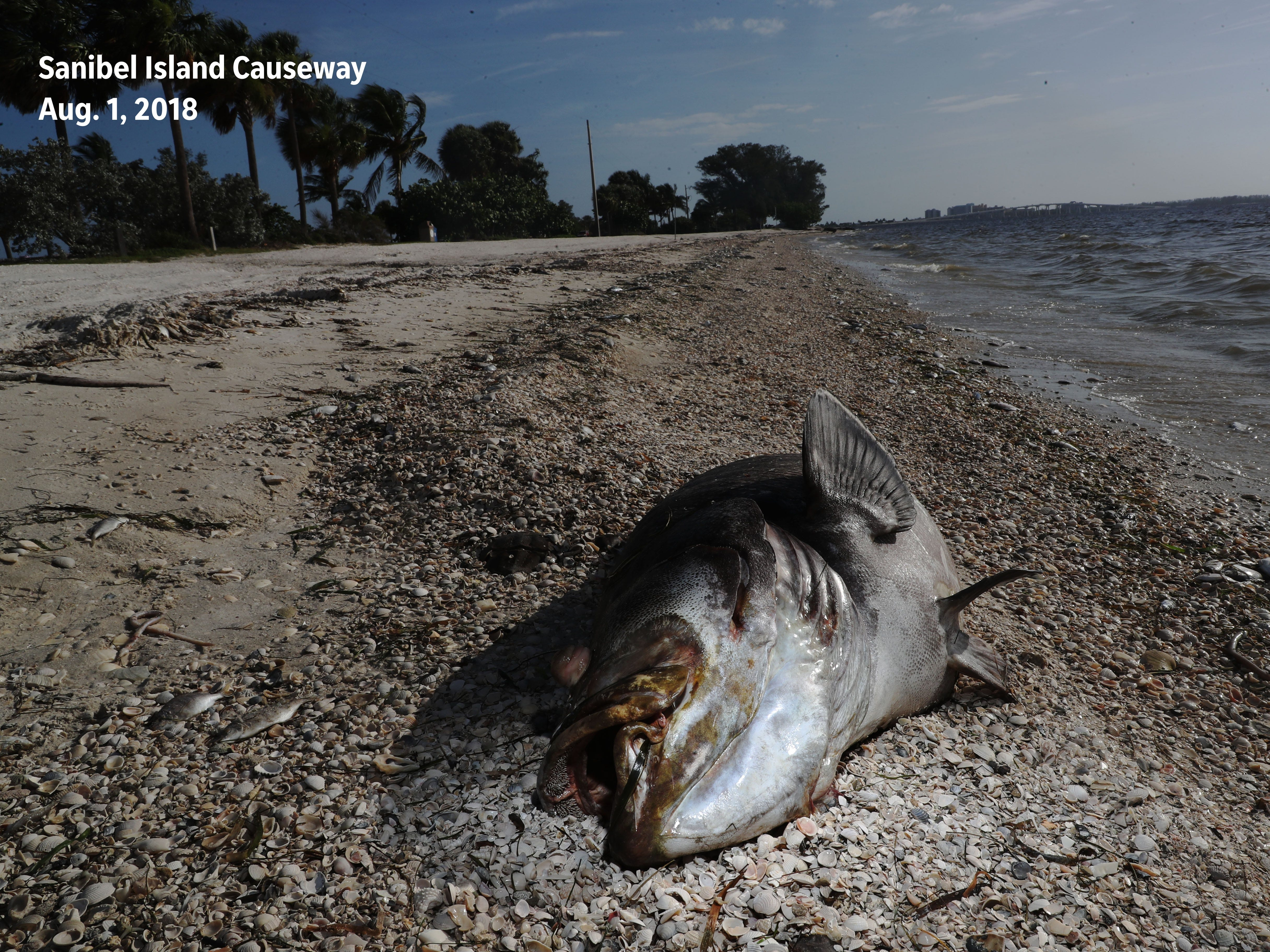 Before: A dead Goliath grouper was photographed on the Sanibel Causeway on Aug. 1, 2018.