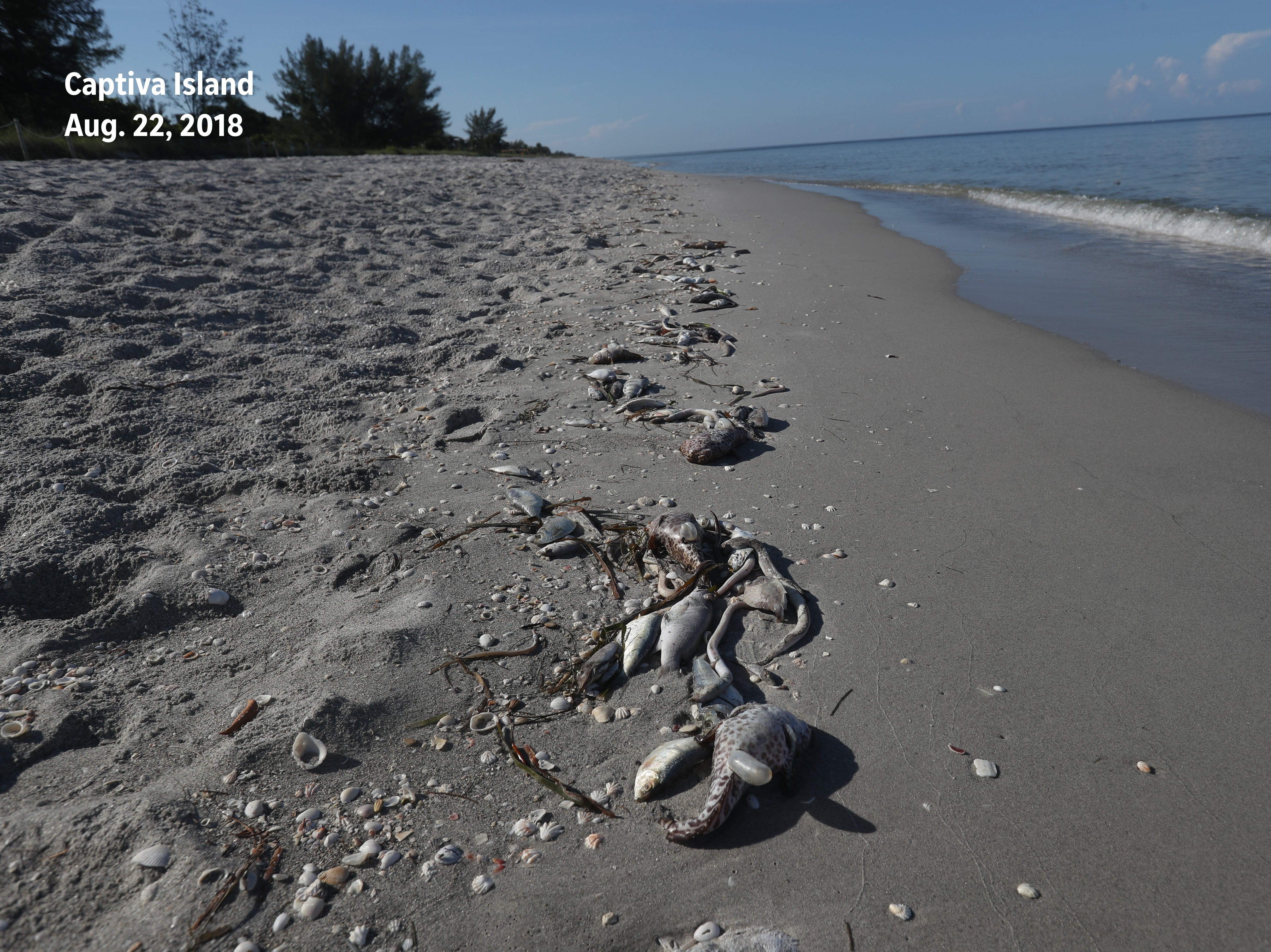 Before: A fish kill was documented at the last public beach access on Captiva Island before the South Seas Resort on Aug. 22, 2018.