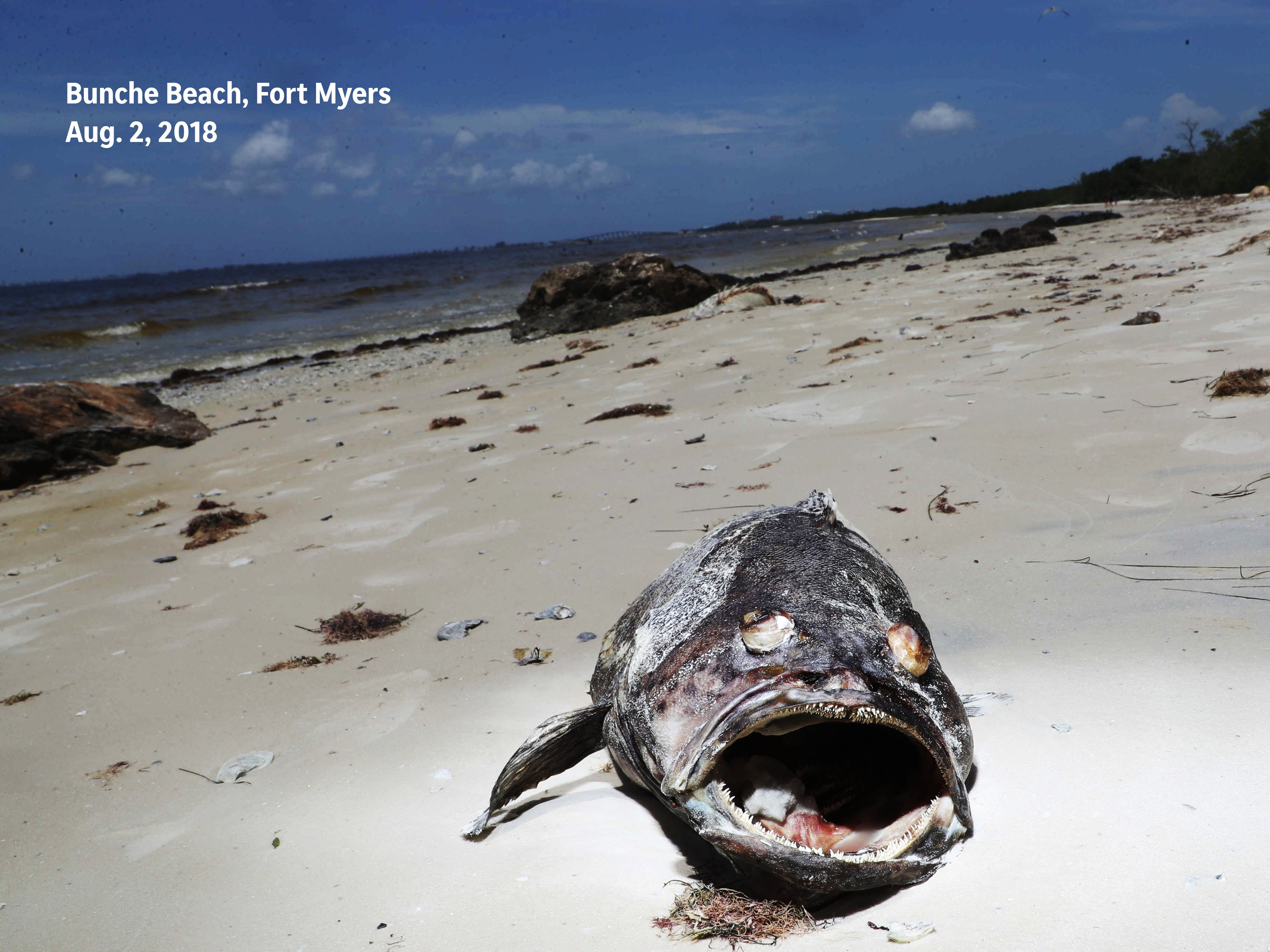Before: A dead grouper among thousands of other fish was photographed on Aug. 2, 2018 on Bunche Beach in Fort Myers.