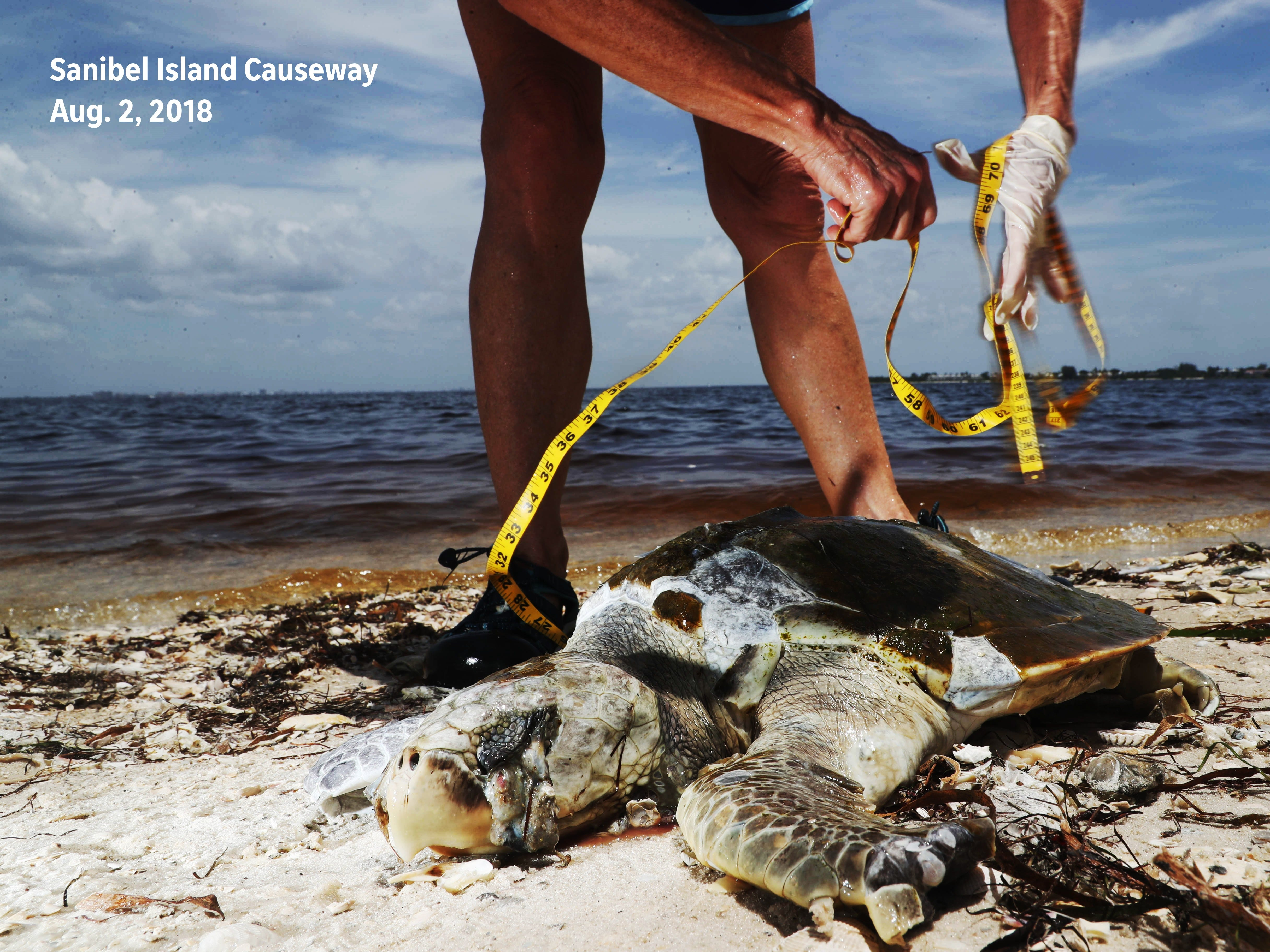 Before: A dead Kemp's Ridley sea turtle was documented and picked up by a Sanibel Captiva Conservation Foundation stranding volunteer on the Sanibel Causeway on Aug, 2, 2018.