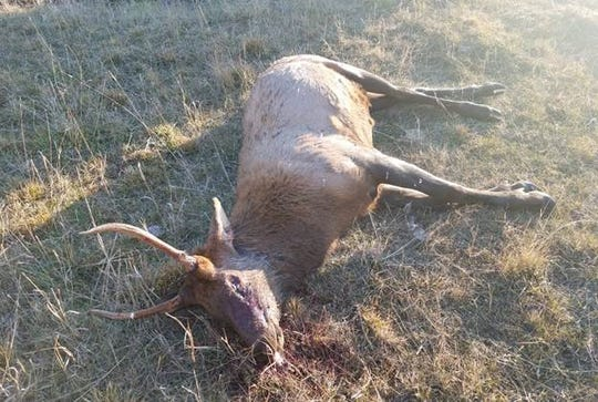 Game wardens are investigating the illegal killing of a spike bull elk west of Troy in late October.