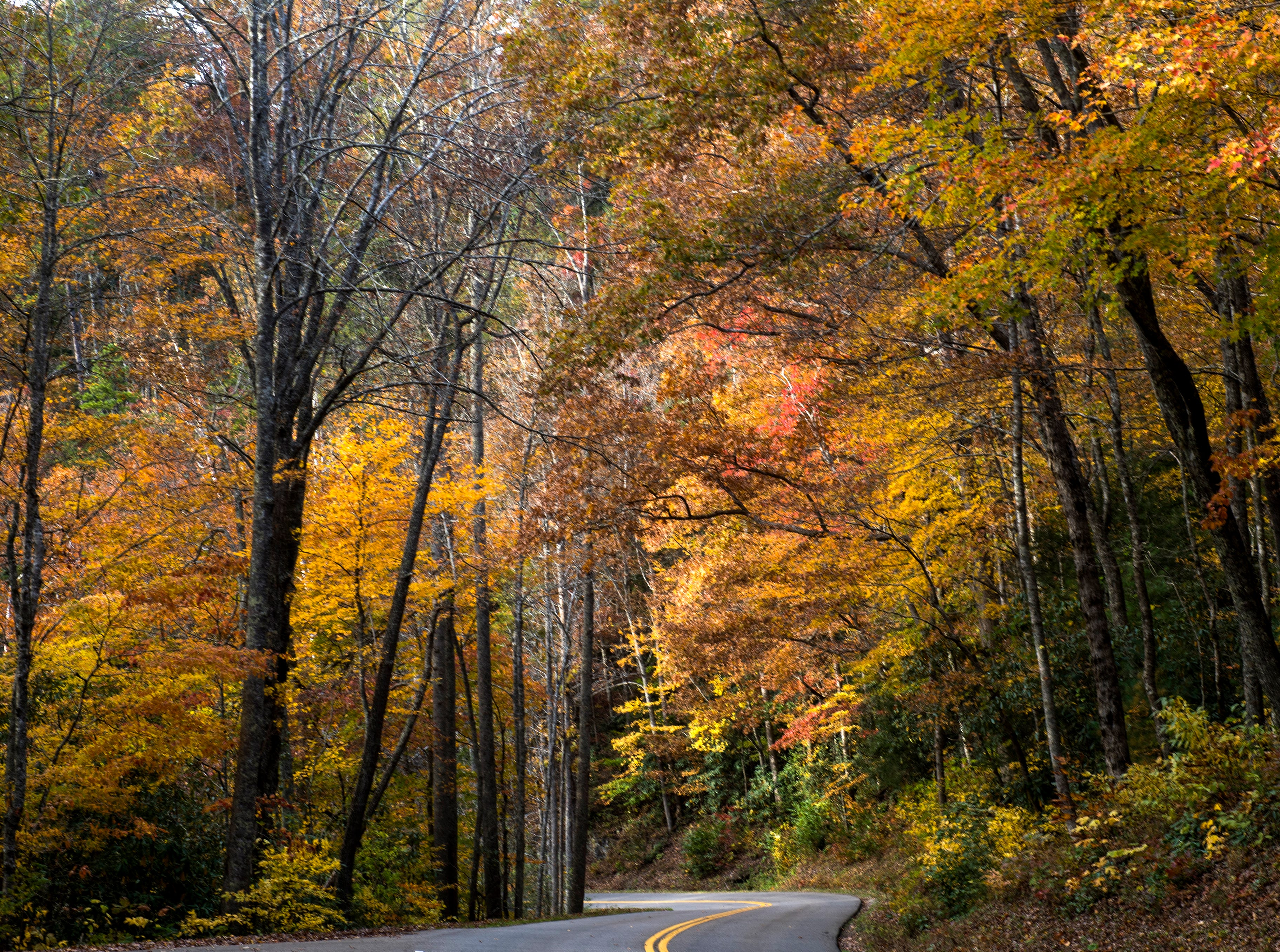 Fall foliage surrounds Little River Gorge Road in the Great Smoky Mountains National Park on Sunday, November 4, 2018.