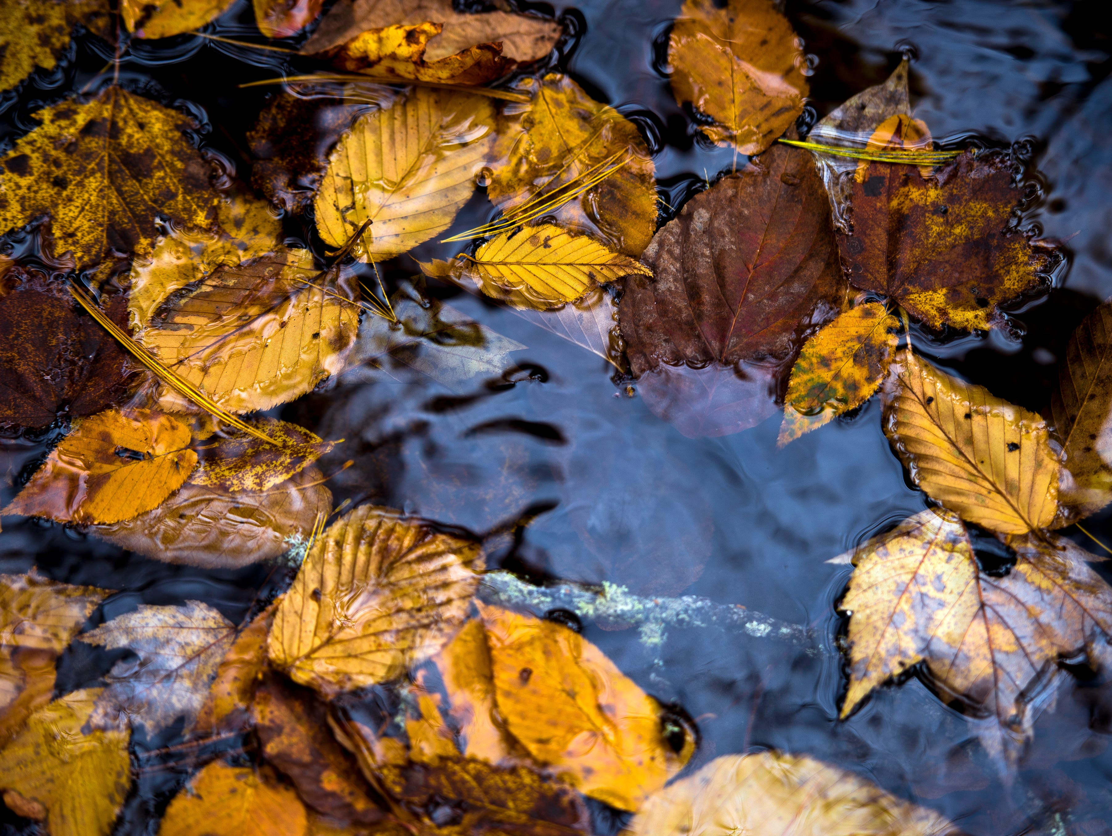 Fallen leaves float in the Little River in the Great Smoky Mountains National Park on Sunday, November 4, 2018.