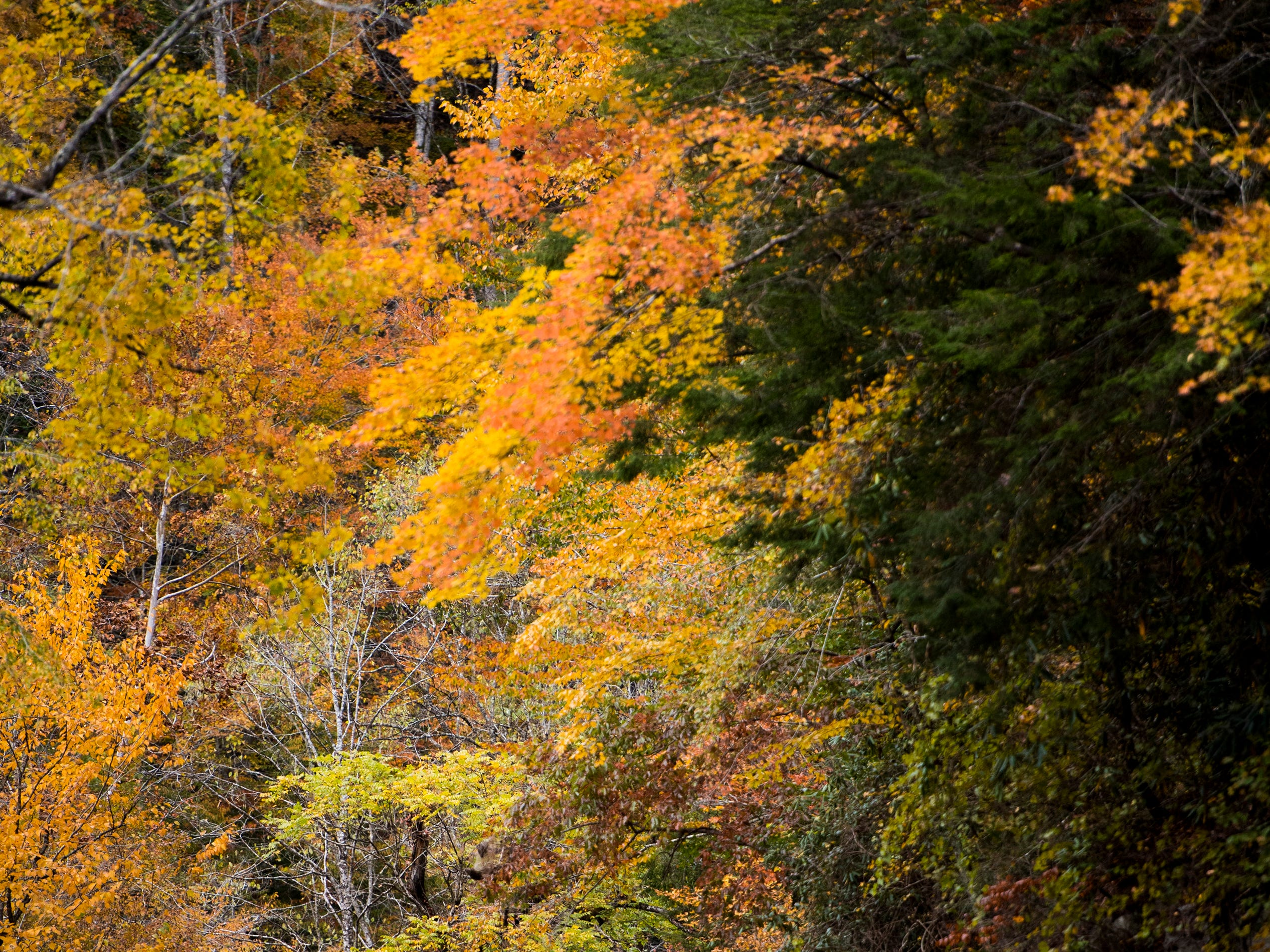 Fall foliage along Little River Gorge Road in the Great Smoky Mountains National Park on Sunday, November 4, 2018.