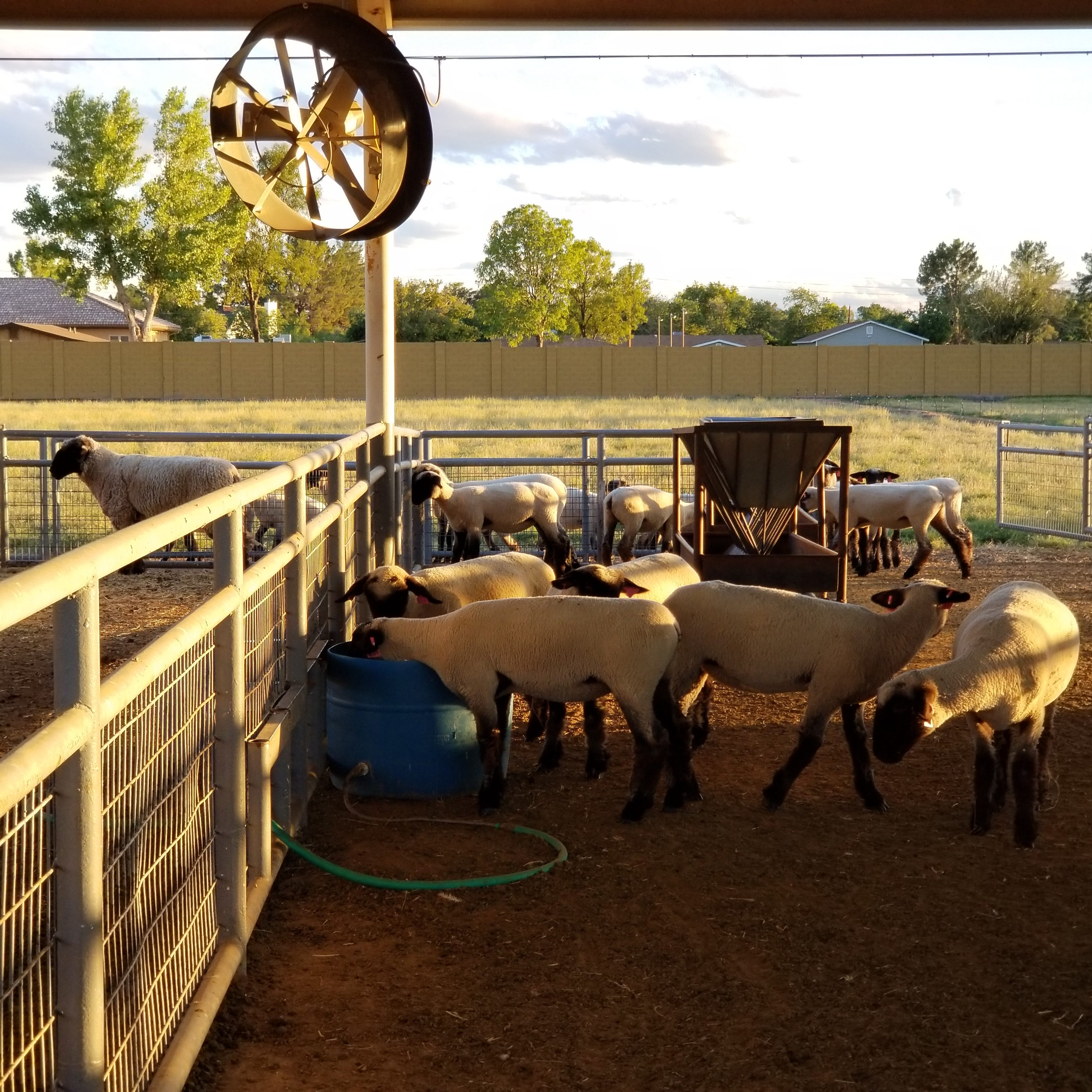 Farmers raise a family – and a herd of sheep – in suburban Peoria