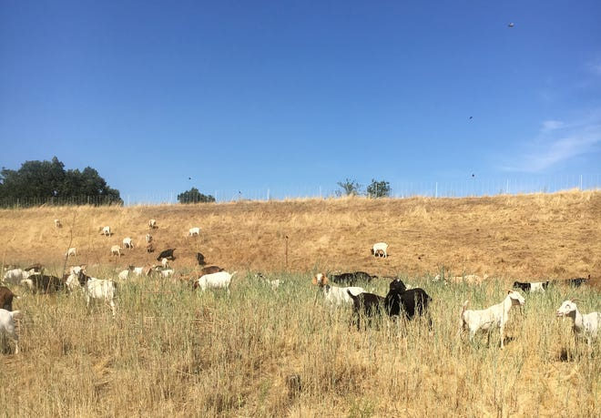 Goats dine on starthistle. The animals are brought to sites by brush-control company Capra in Rancho Cordova.