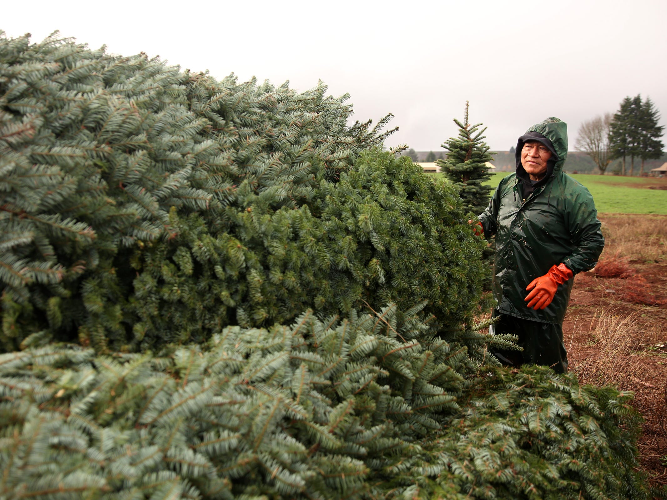 Marcelo Perez, of Brooks, piles harvested Christmas trees to prepare them for delivery at Hupp Farms near Silverton on Monday, Nov. 5, 2018.