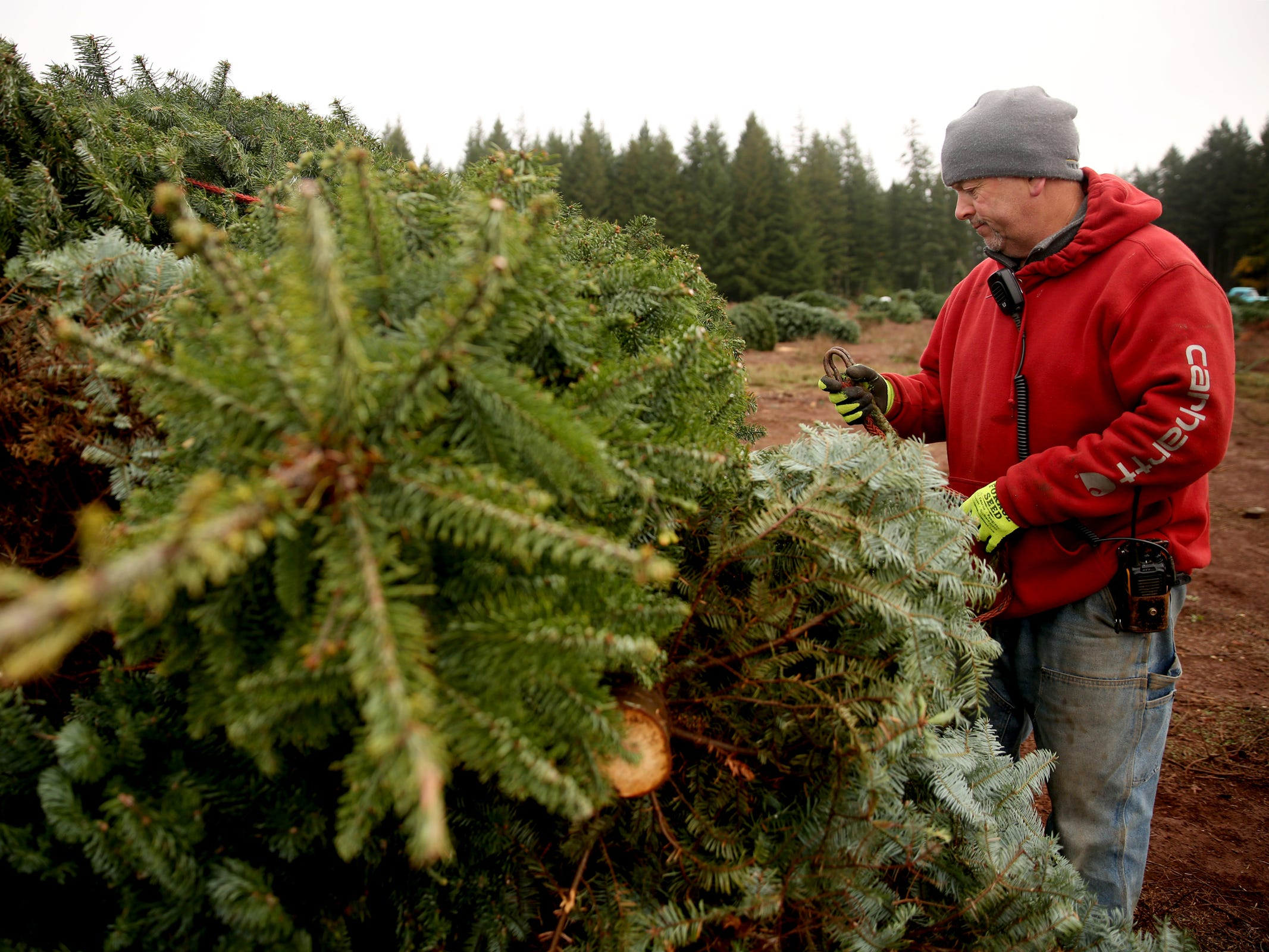 Jan Hupp looks over a pile of Christmas trees that have been  harvested and are being prepped for delivery at Hupp Farms near Silverton on Monday, Nov. 5, 2018.