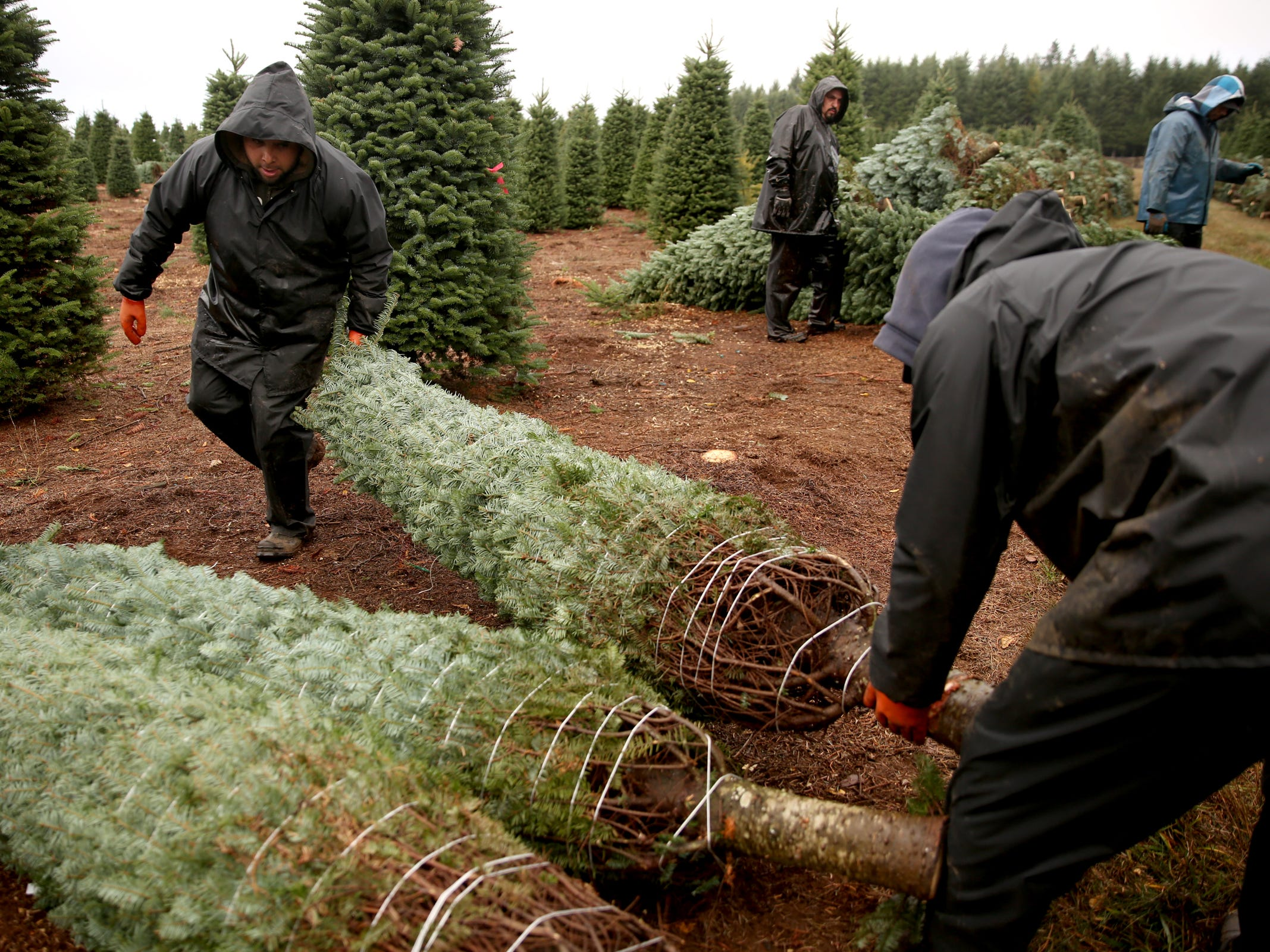 Christmas trees are harvested and prepped for delivery at Hupp Farms near Silverton on Monday, Nov. 5, 2018.