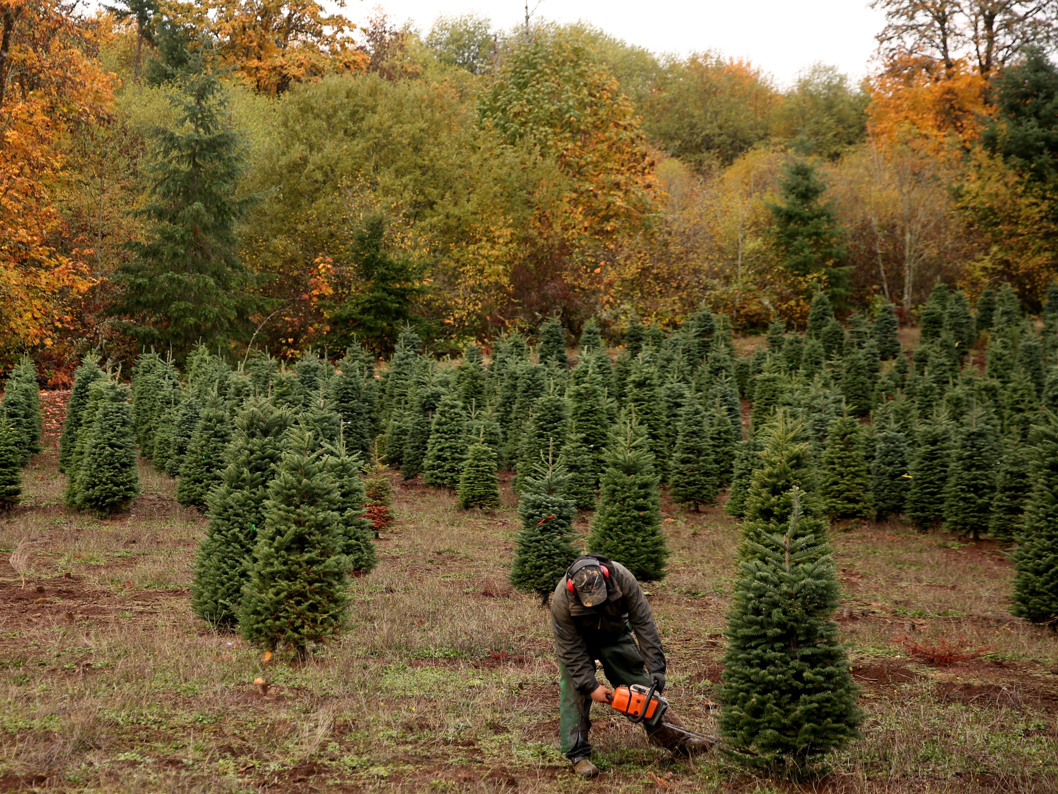 Alejandro Rios, of Silverton, harvests a Christmas at Hupp Farms near Silverton on Monday, Nov. 5, 2018.