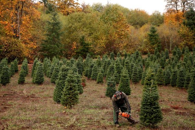 Alejandro Rios, of Silverton, harvests a Christmas at Hupp Farms near Silverton on Monday, Nov. 5, 2018.