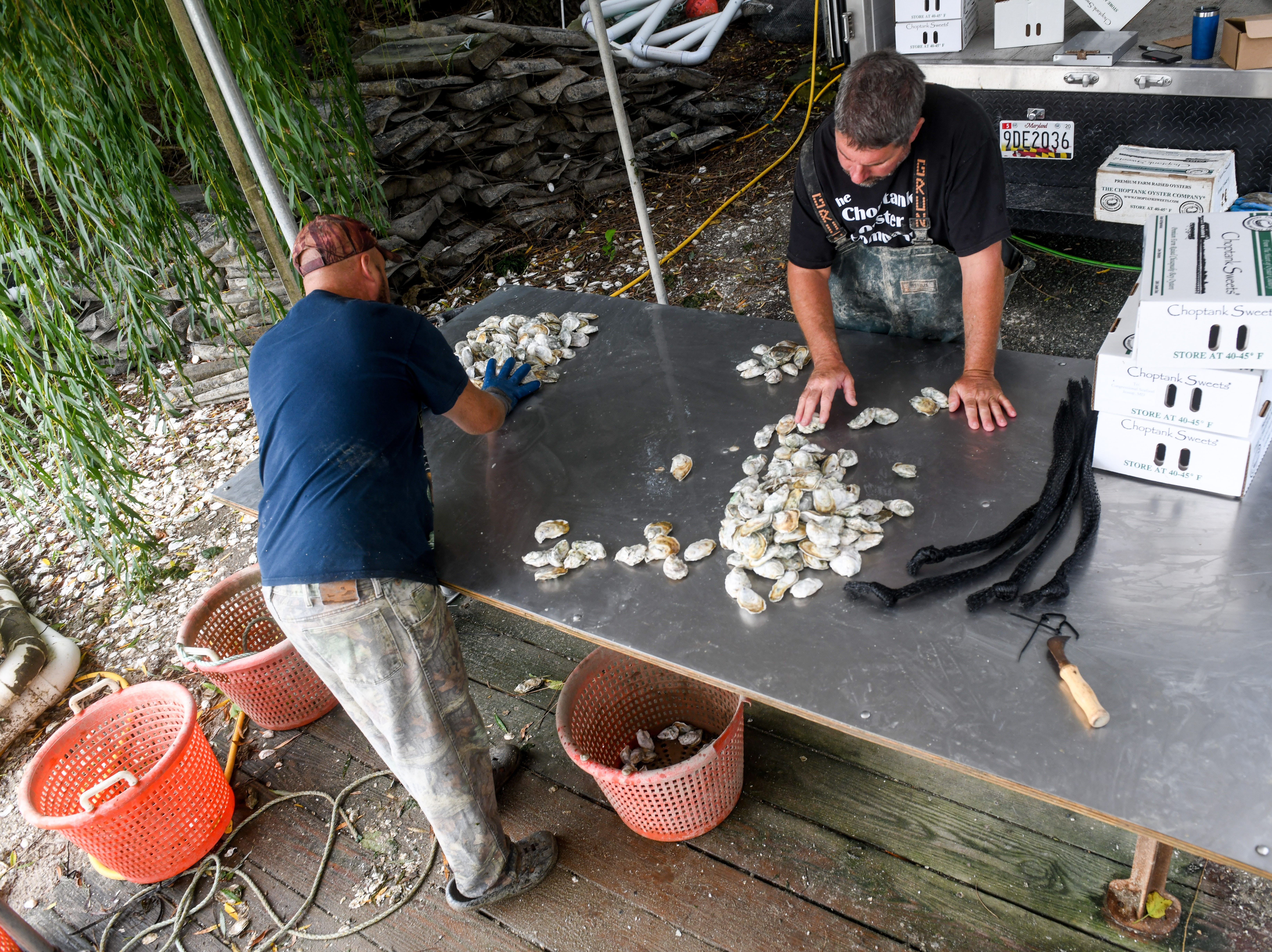 Choptank Oyster Company founder Kevin McClarren and employee Bubba Parker package oysters on the shore of the Chesapeake Bay near Cambridge on Thursday, Sept 27, 2018.