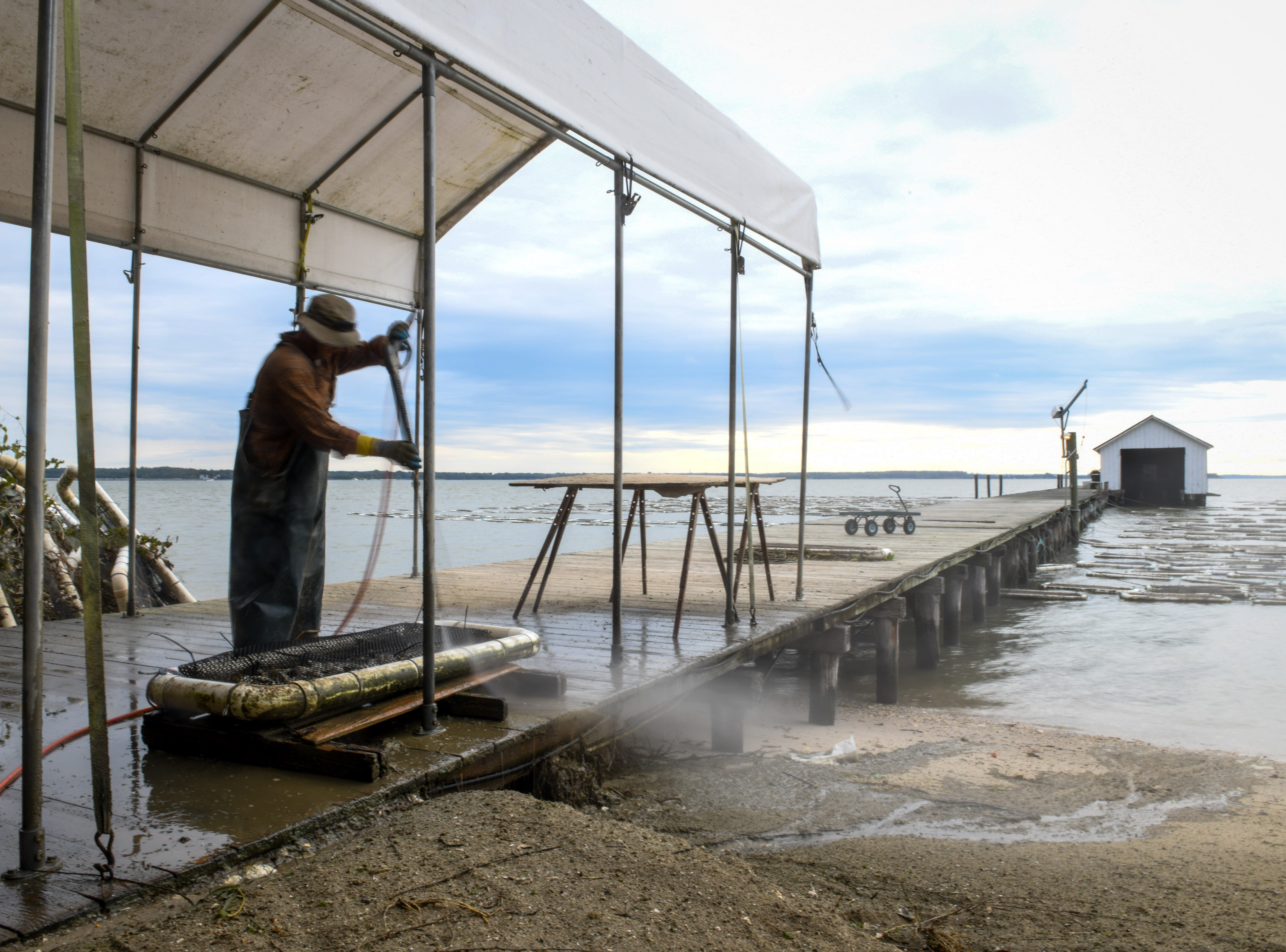 Colin Golden of the Choptank Oyster Company washes oysters on the shore of the Chesapeake Bay near Cambridge on Thursday, Sept 27, 2018.