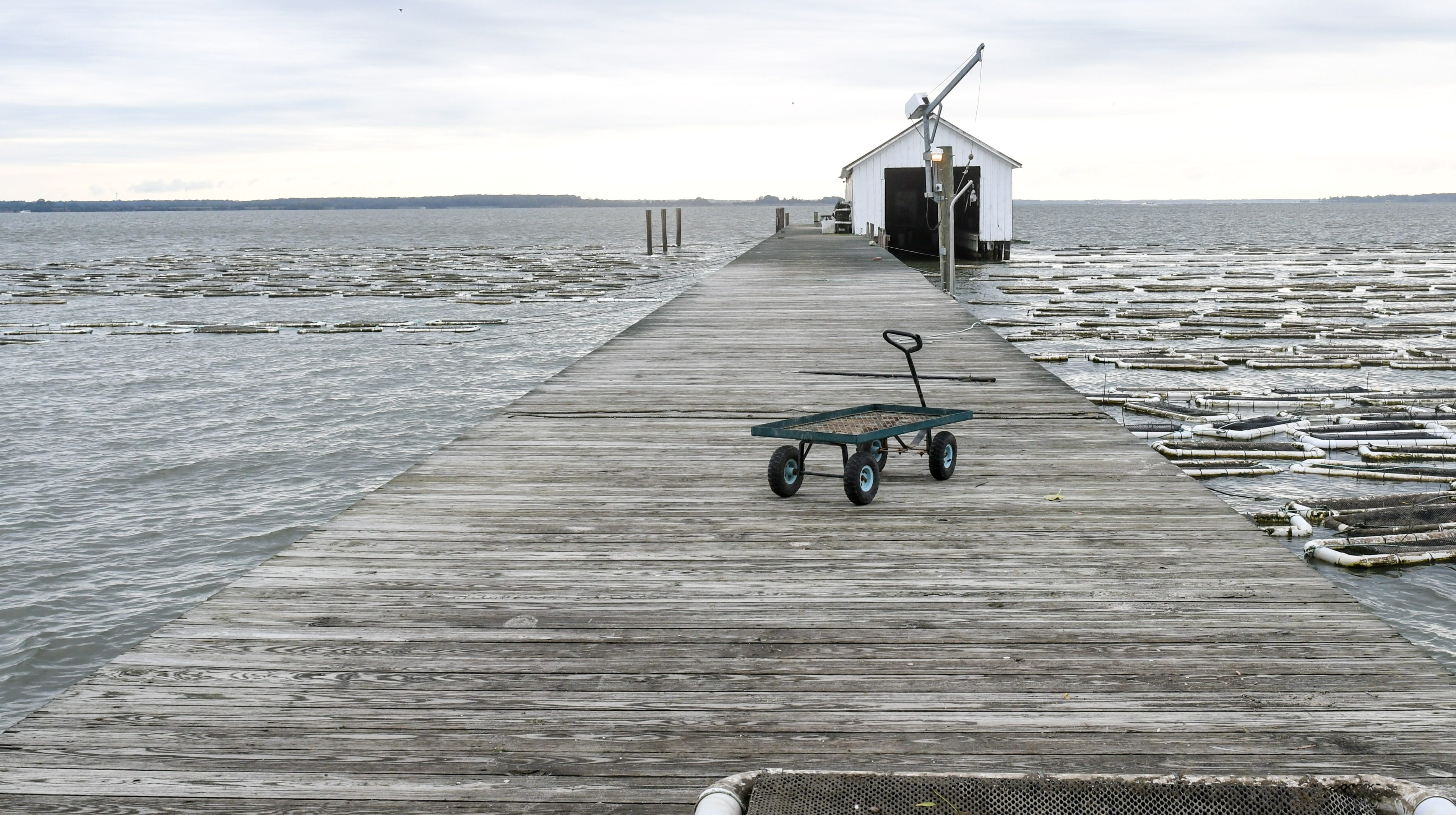 Oysters: Summer rain puts damper on harvest