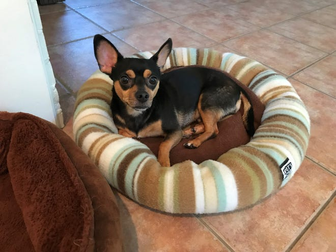 Barney is a neutered male chihuahua.