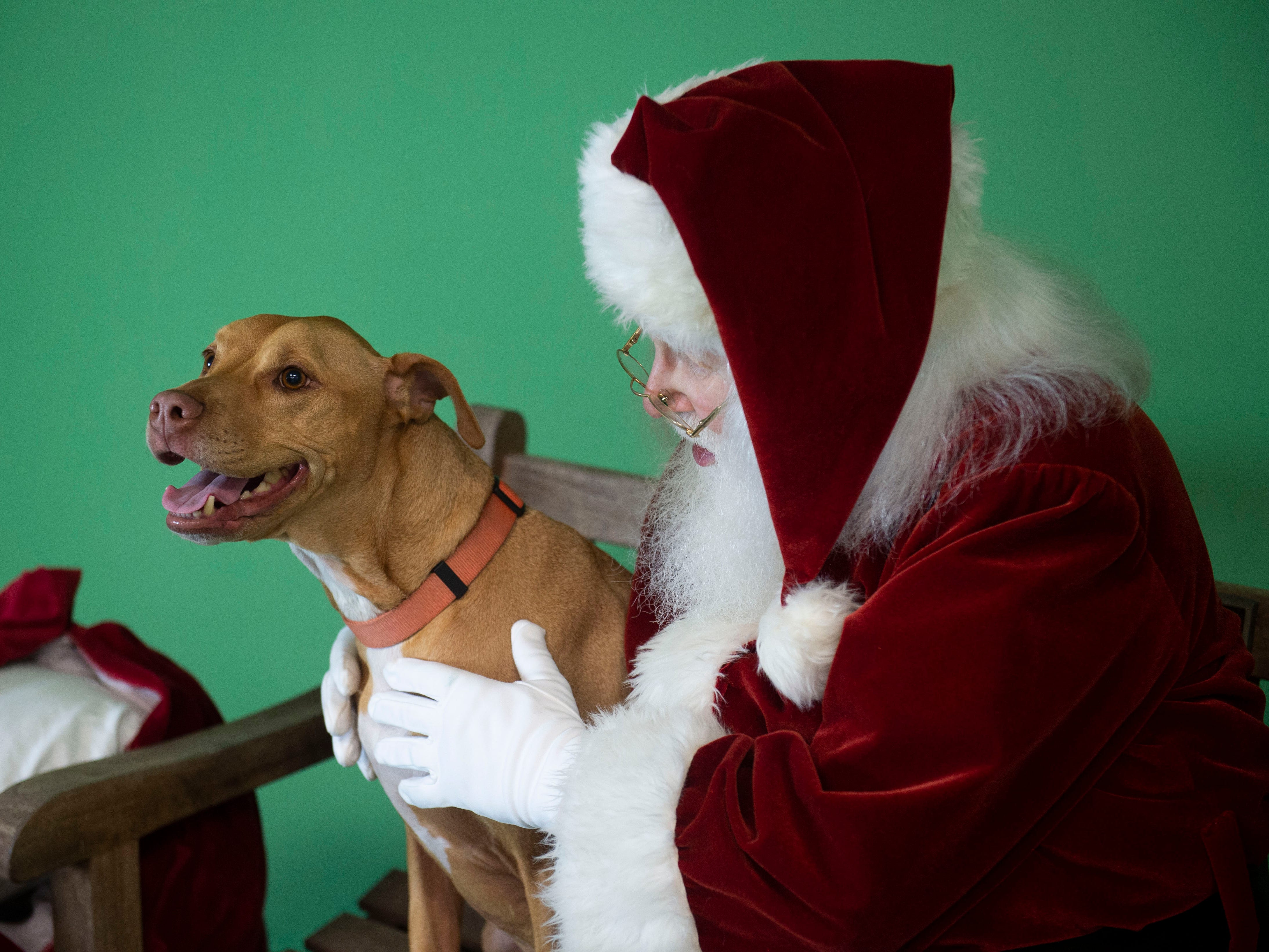 "Several pets posed for portraits with Lance Willock, dressed as Santa Claus, during the Humane Society of Vero Beach and Indian River County's annual Santa Paws photo shoot Sunday, Nov. 4, 2018 at the Humane Society Thrift Store in Vero Beach. Willock is used to meeting children during the holiday season, but enjoys greeting the animals and helping out with the fundraiser. ""They're different than children but they all have personalities. Once they get acquainted with Santa it's interesting to see how they all react to Santa, almost like children somewhat,"" Willock said."