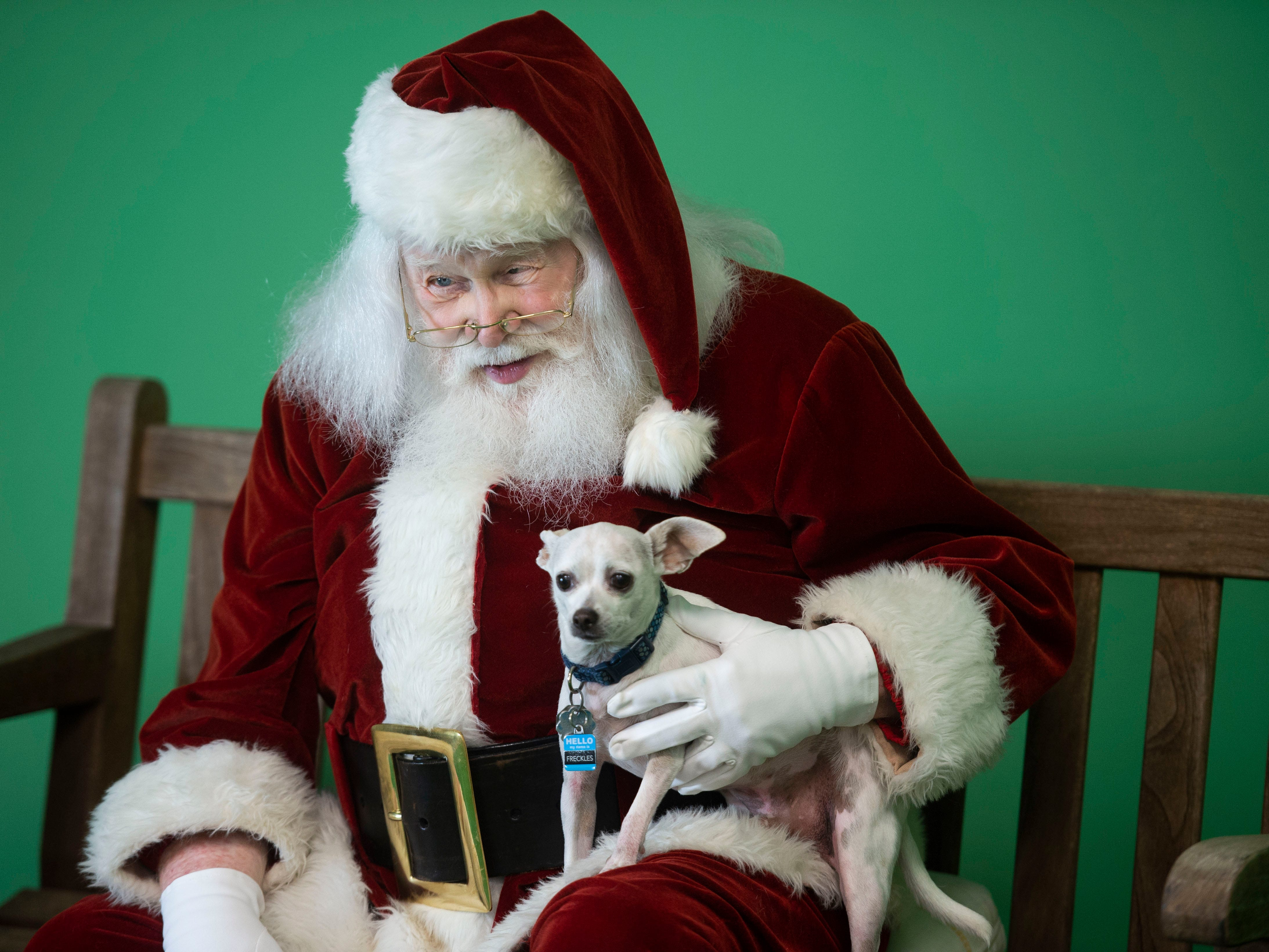 "Freckles, 4, a Chihuahua mix, poses for a portrait with Lance Willock, dressed as Santa Claus, during the Humane Society of Vero Beach and Indian River County's annual Santa Paws photo shoot Sunday, Nov. 4, 2018 at the Humane Society Thrift Store in Vero Beach. Willock is used to meeting children during the holiday season, but enjoys greeting the animals and helping out with the fundraiser. ""They're different than children but they all have personalities. Once they get acquainted with Santa it's interesting to see how they all react to Santa, almost like children somewhat,"" Willock said."