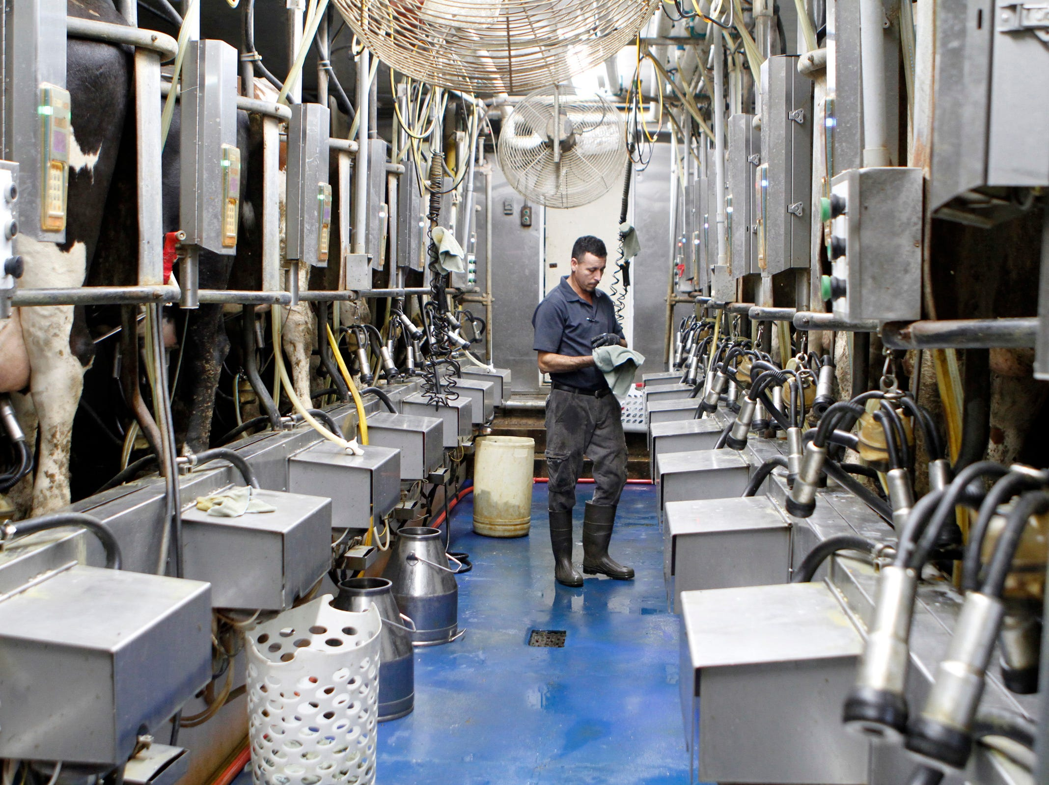 The Roden family dairy farm in West Bend milks 650-700 cows in a double 8 herringbone parlor. The goal was to build a freestall barn and then a new parlor, but low commodity prices have stalled those plans for the time being.