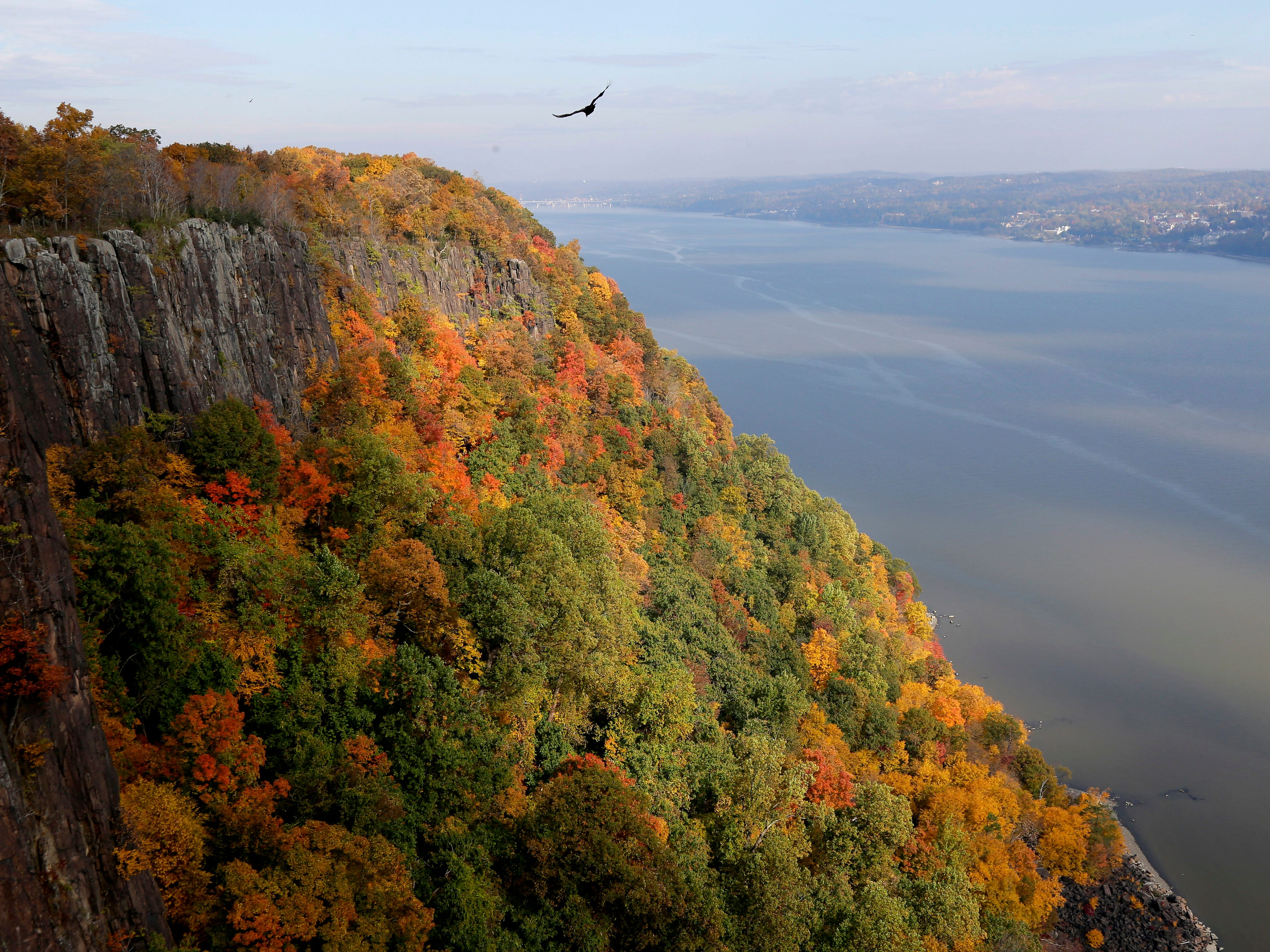 A vulture flies above fall foliage on the Palisades next to the Hudson River in Alpine, N.J., Thursday, Nov. 1, 2018.
