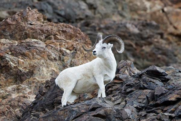 Dall sheep perches on rocky cliffside in Alaska's Denali National Park.