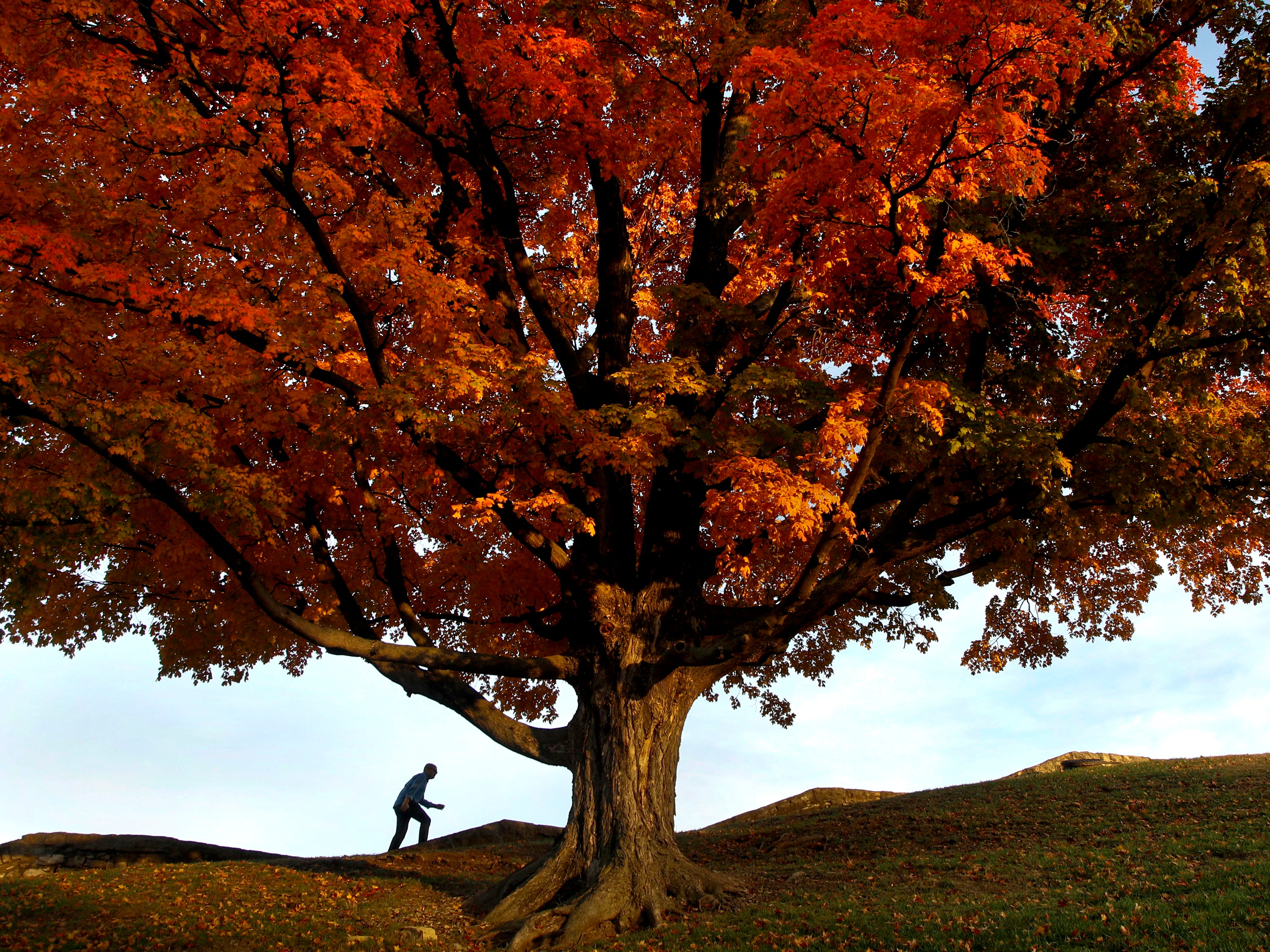 A man walks by an oak tree displaying fall colors on the grounds of the National World War I Museum, Monday, Oct. 29, 2018, in Kansas City, Mo.