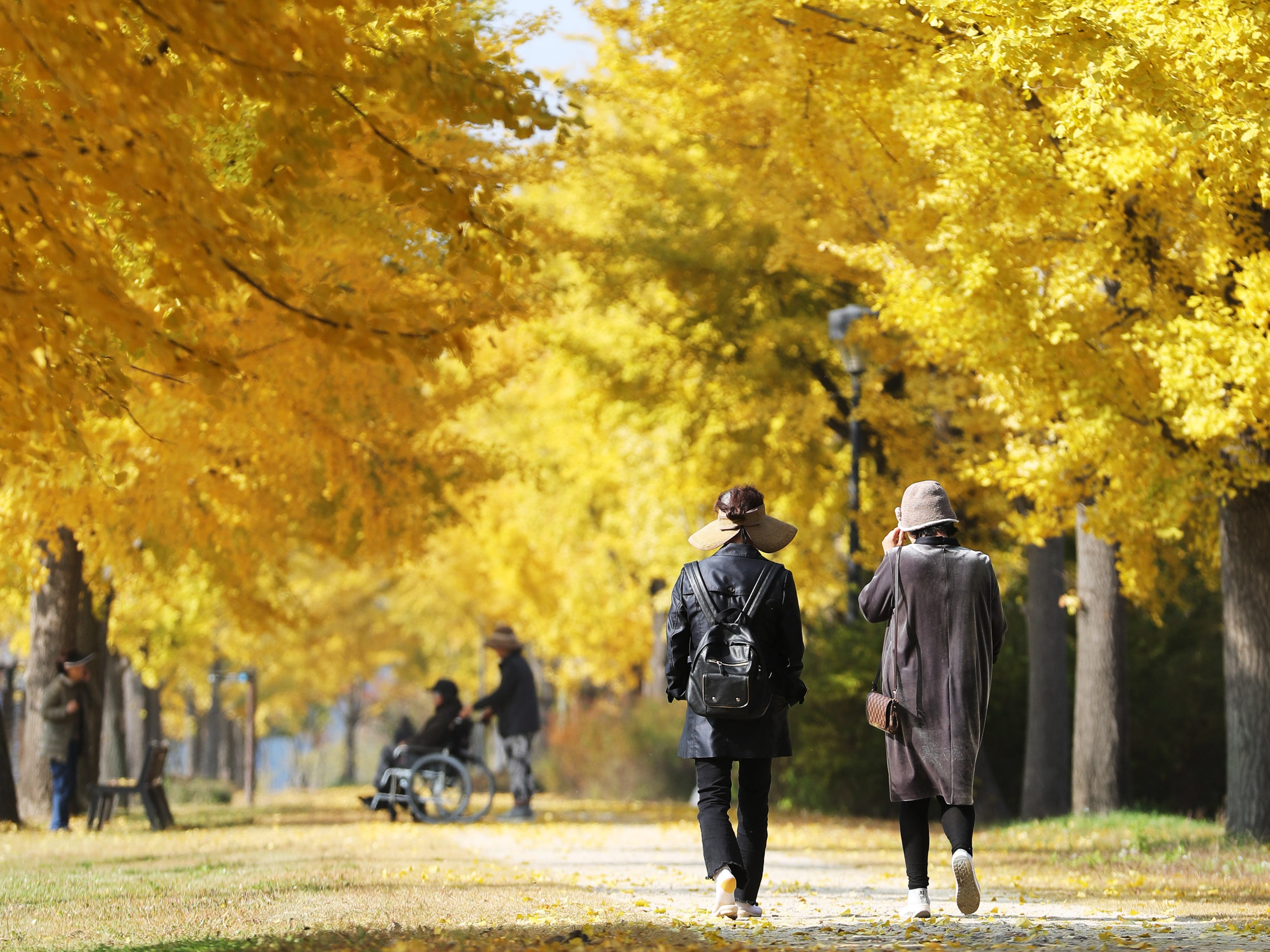 People walk under autumnal colored yellow ginkgo trees in a park in Yeoju, east of Seoul, South Korea, Oct. 24, 2018.