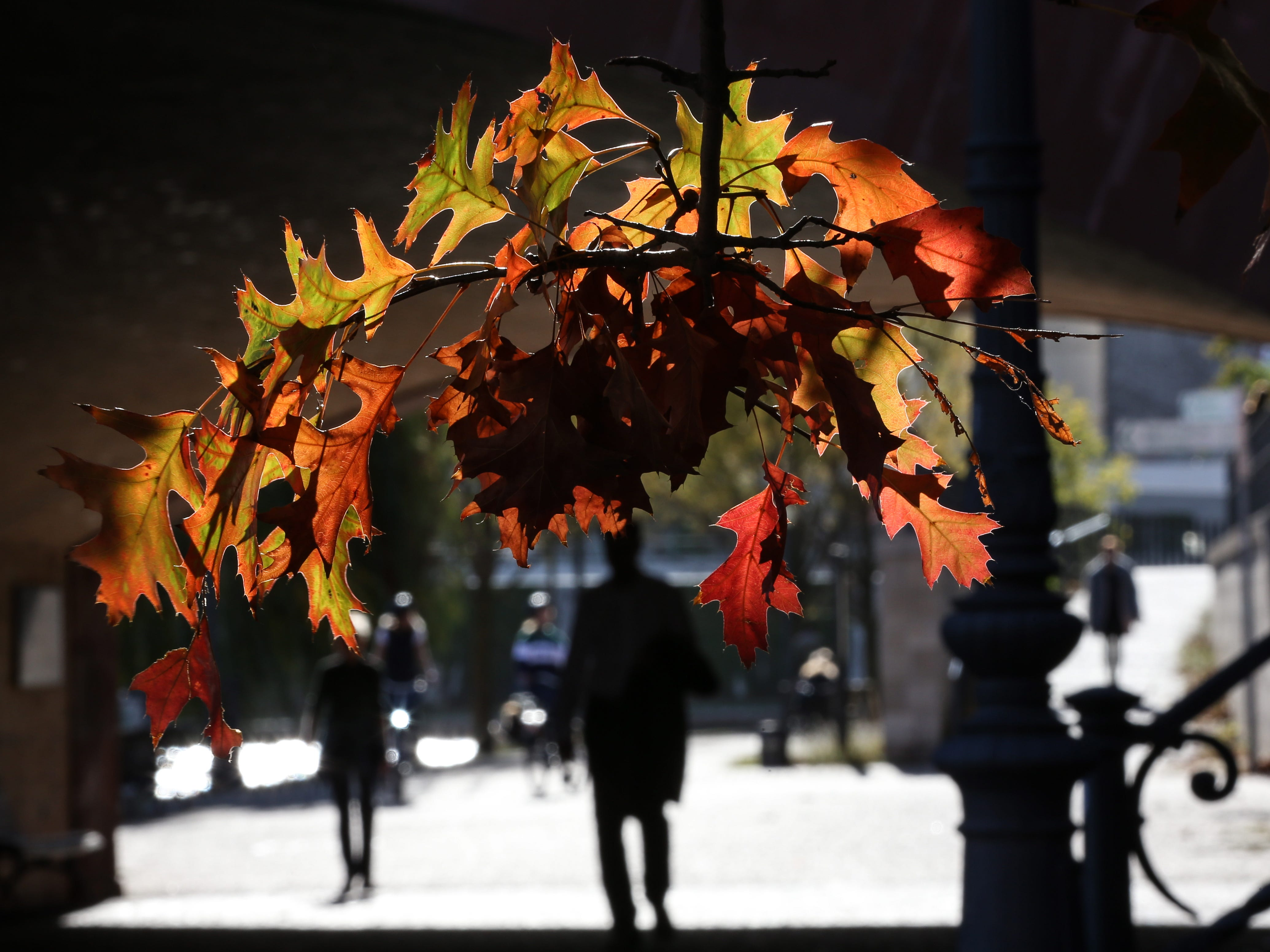 Autumn colored leaves are lit by the sun in Berlin, Germany, Oct. 30, 2018.