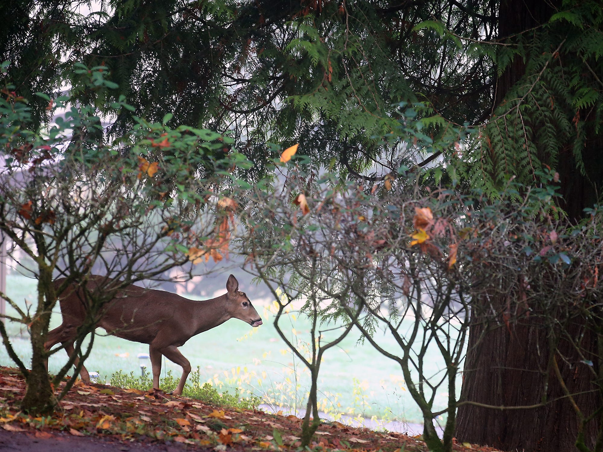 A deer gingerly moves past the shrubs in a yard near Brownsville on Tuesday, November 6, 2018.