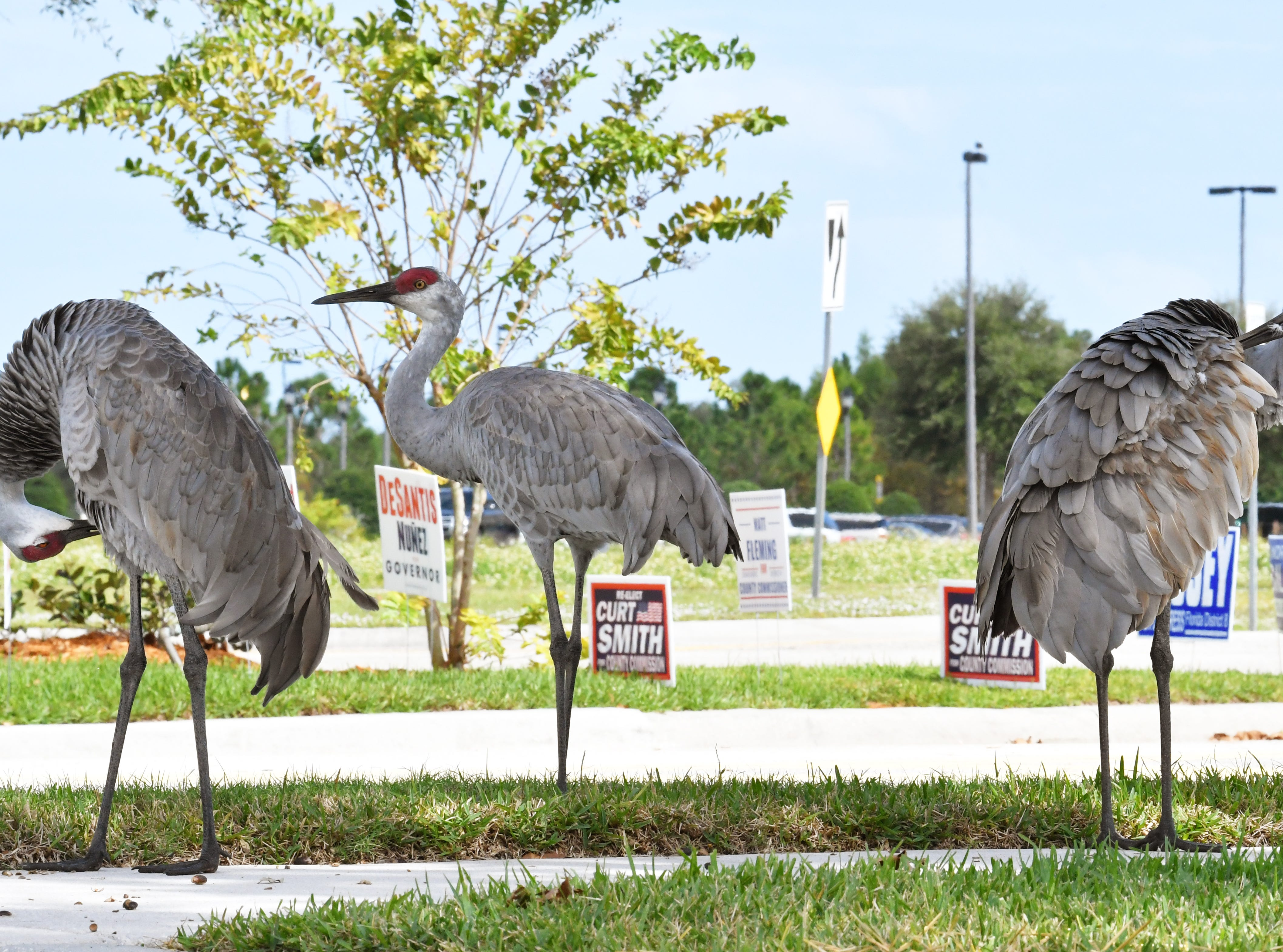 Sandhill cranes at the entrance to the Church at Viera, where several precincts were located. Election Day Tuesday scenes in Viera.