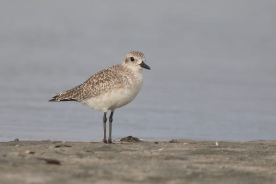 Black Bellied Plover in winter plumage.