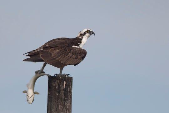 An osprey with breakfast.