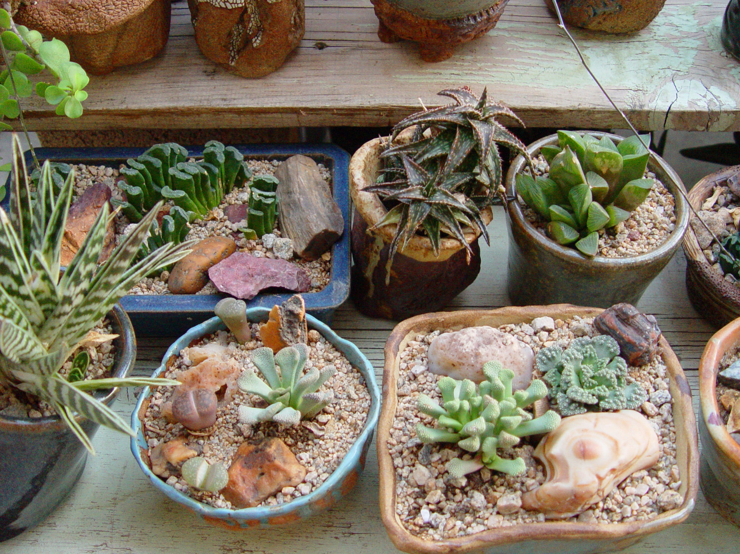 Haworthias, miniature Aloes and living stones potted to suit their natural preferences in habitat.