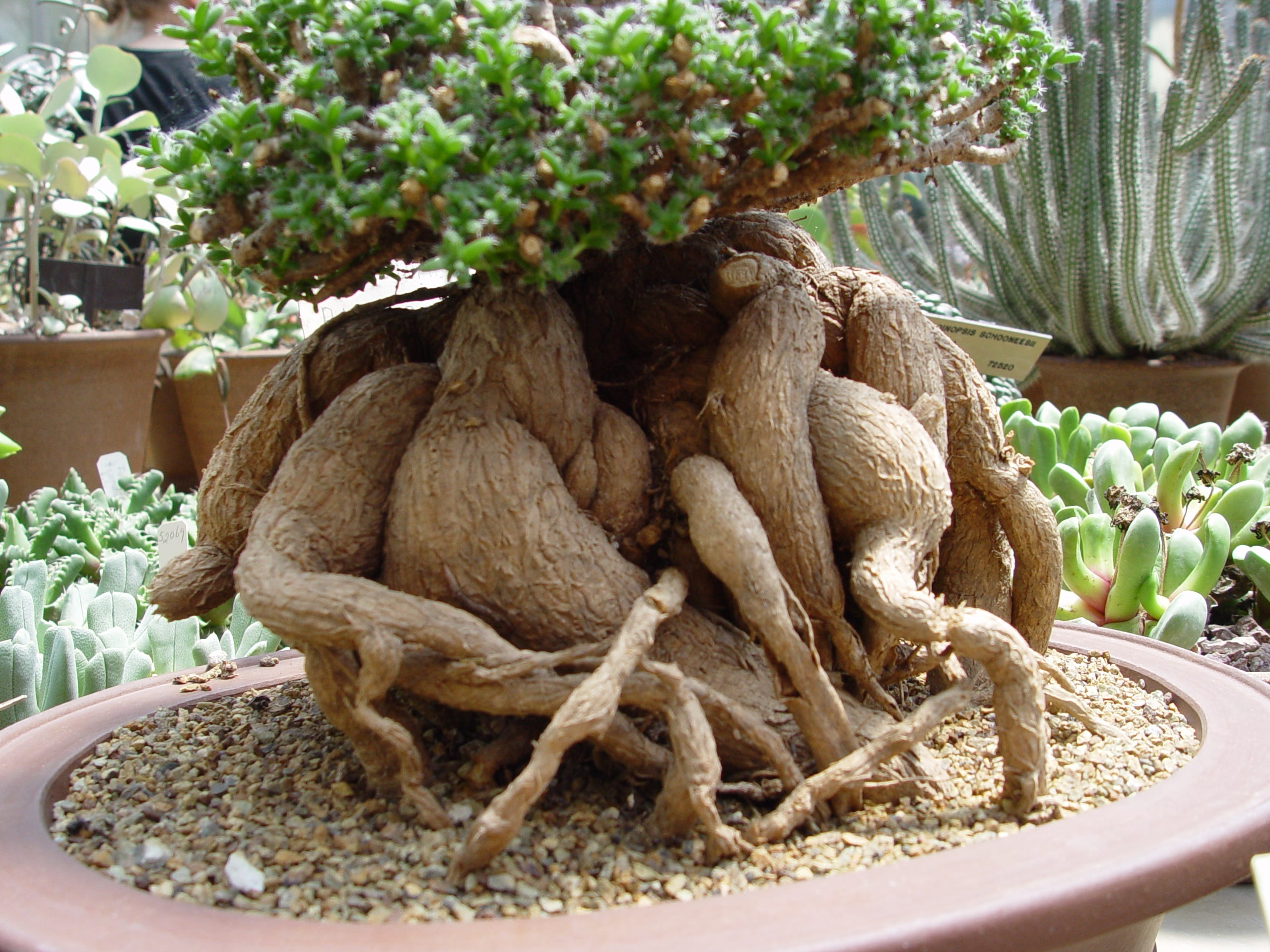 This collector succulent was potted to reveal its water holding root system.