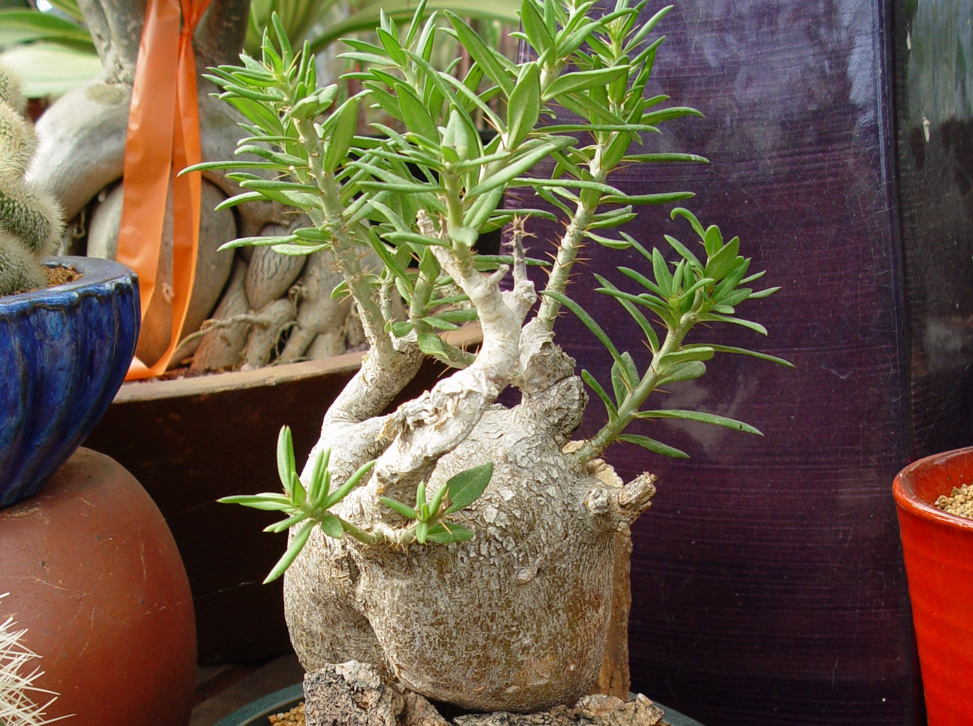 Succulents with big fat caudex bodies can be arranged like this one with carefully matched and placed stones.