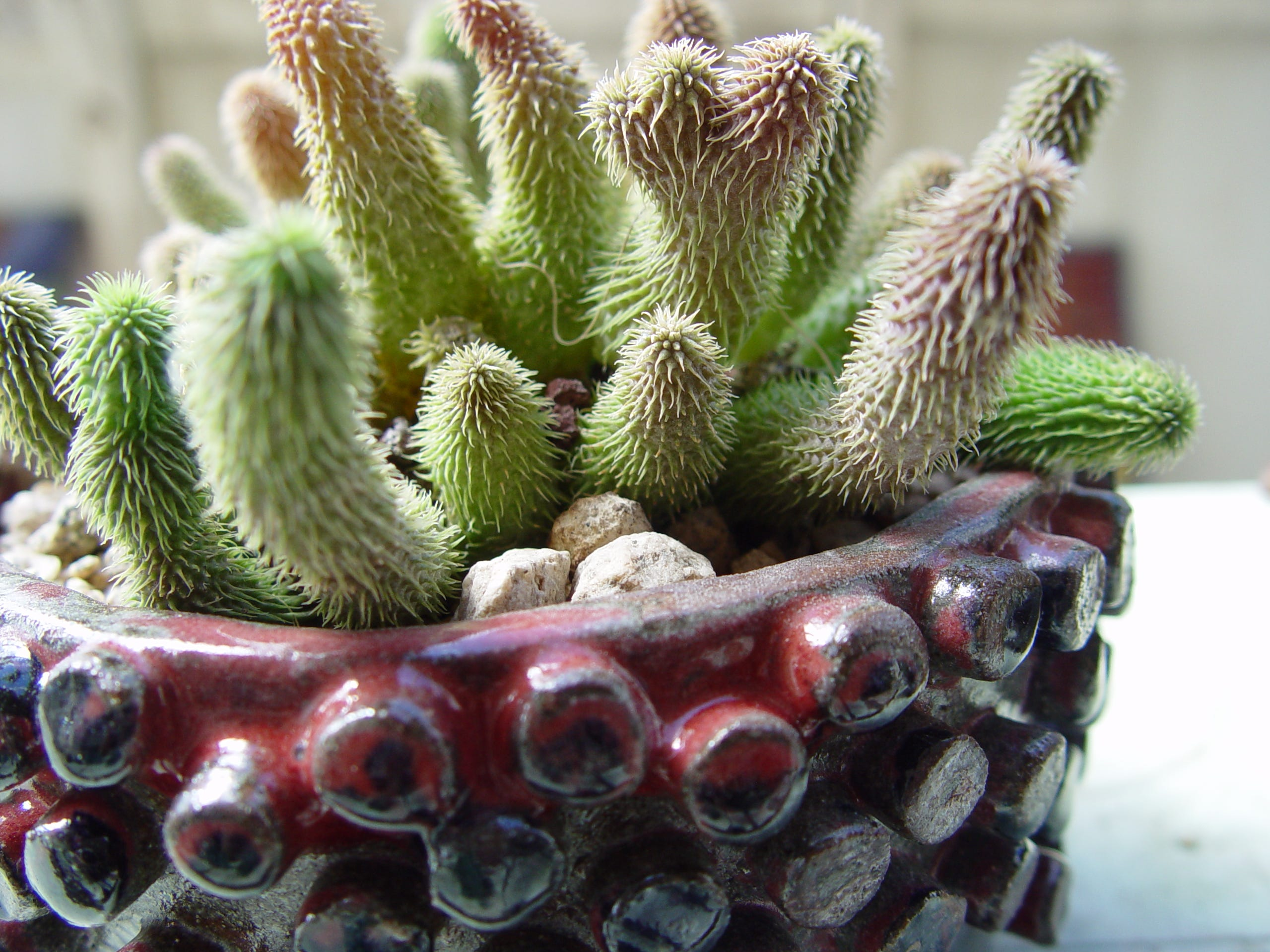Tiny carrion flowers dot this species in spring and fall in this coordinated handmade art pot.