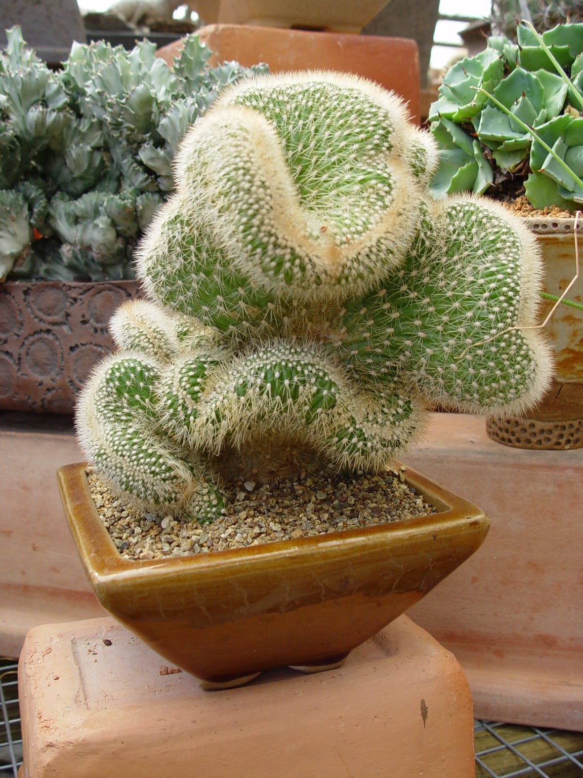 Beautifully distorted crested or monstrose cactus make some of the finest living sculptures due to their bizarre forms.