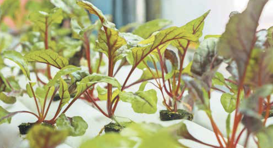 Fast-growing leafy green plants, such as chard, are ideal candidates for vertical farming.