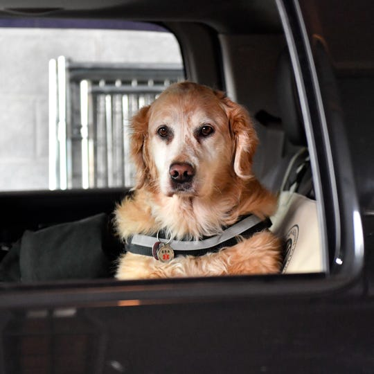 Man's best friend patiently waits in the truck, while fence construction is going on.
