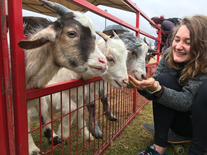 Bethany Kuczmarski fed a trio of goats on Election Day at UWSP.