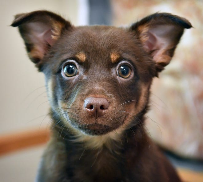 Latte is a 12-week old, brown and tan, mixed breed. She is sweet, smart and available for adoption from the Wichita Falls Animal Services Center.